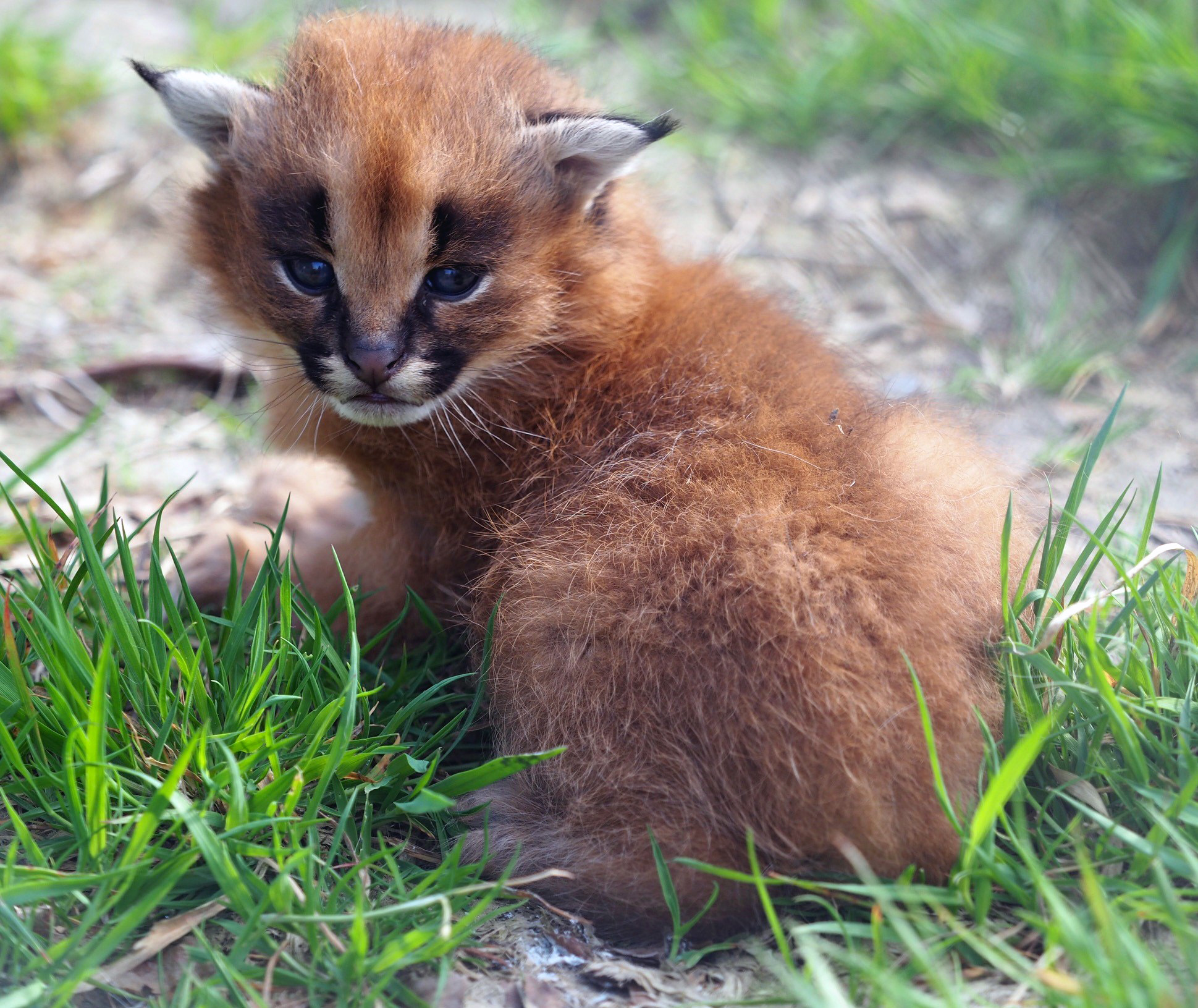 The caracals are native to the grasslands of Africa (Exmoor Zoo/PA).