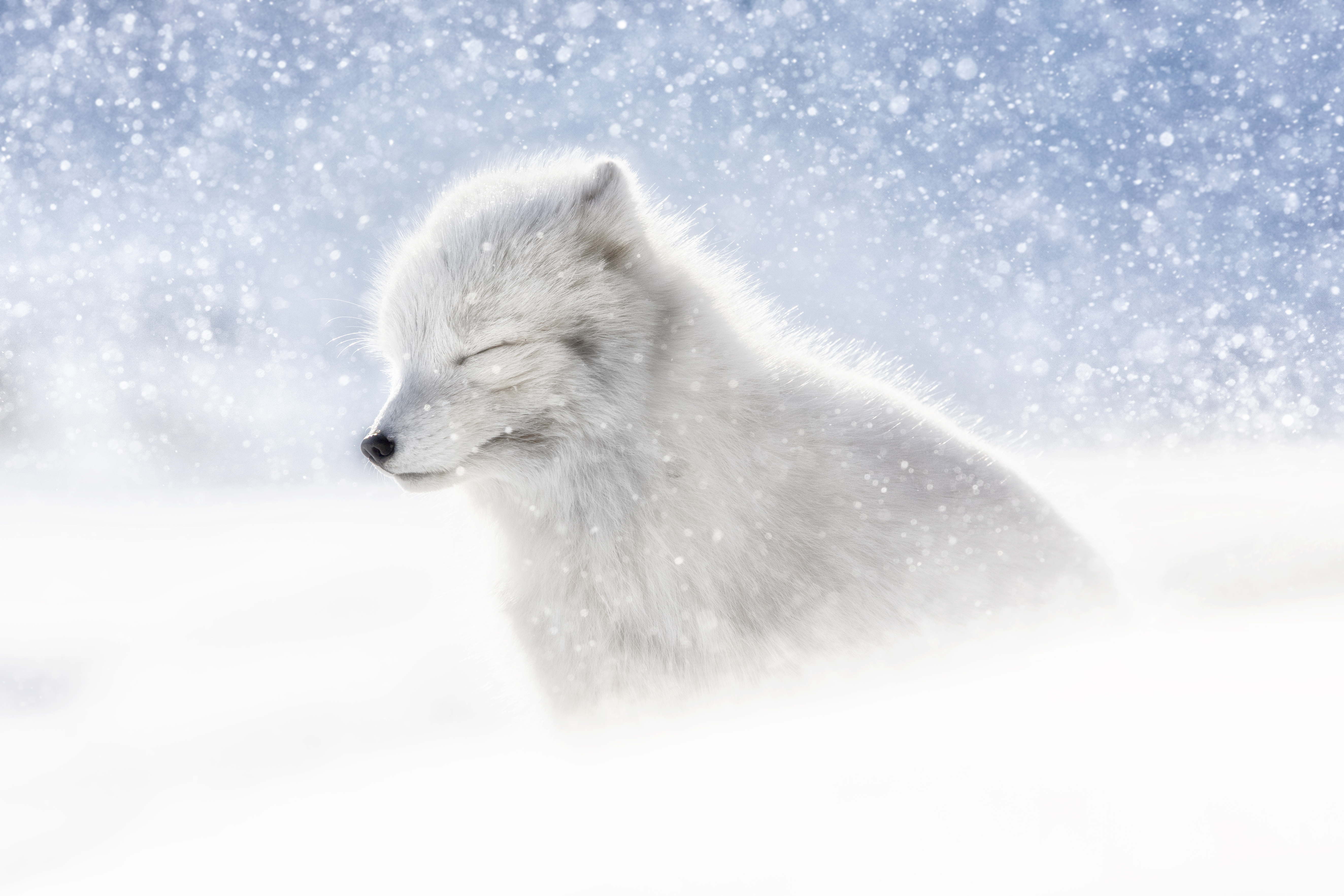 Arctic Fox in snow, Northern Svalbard, Norway (Marco Gaiotti)