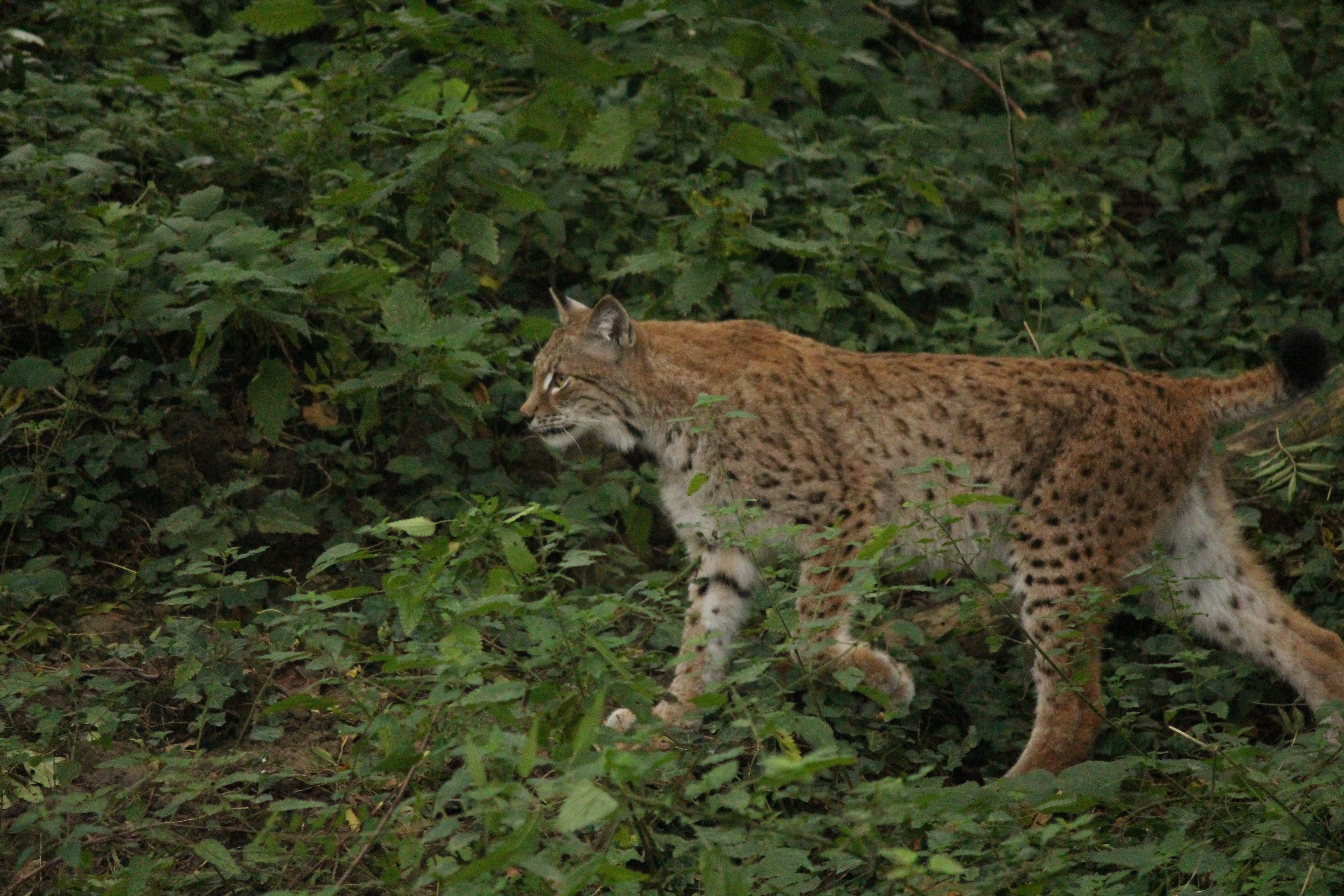A lynx at the Wild Place Project in South Gloucestershire