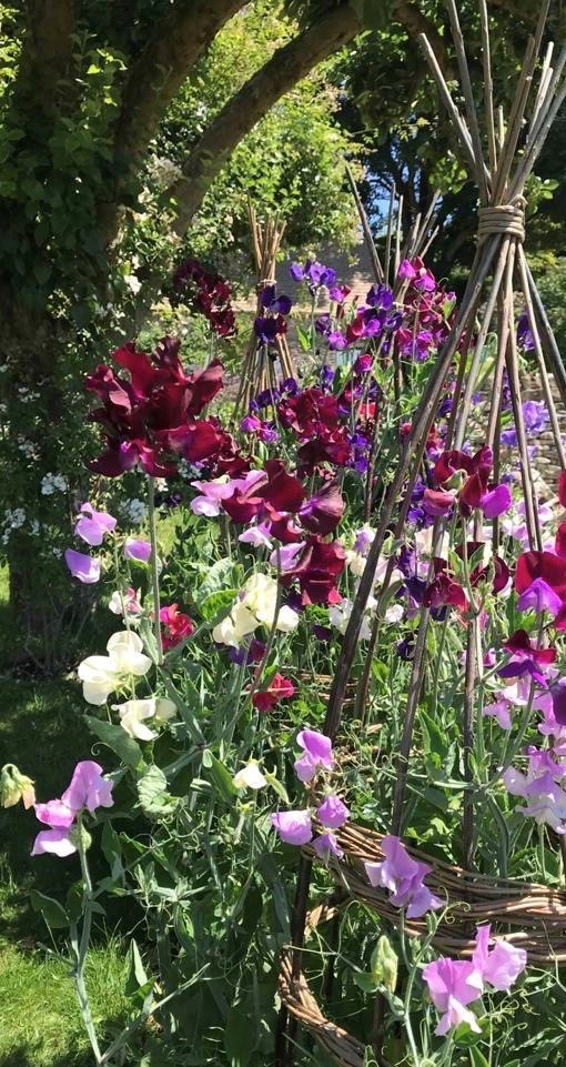 The Duchess of Gloucester's sweet peas
