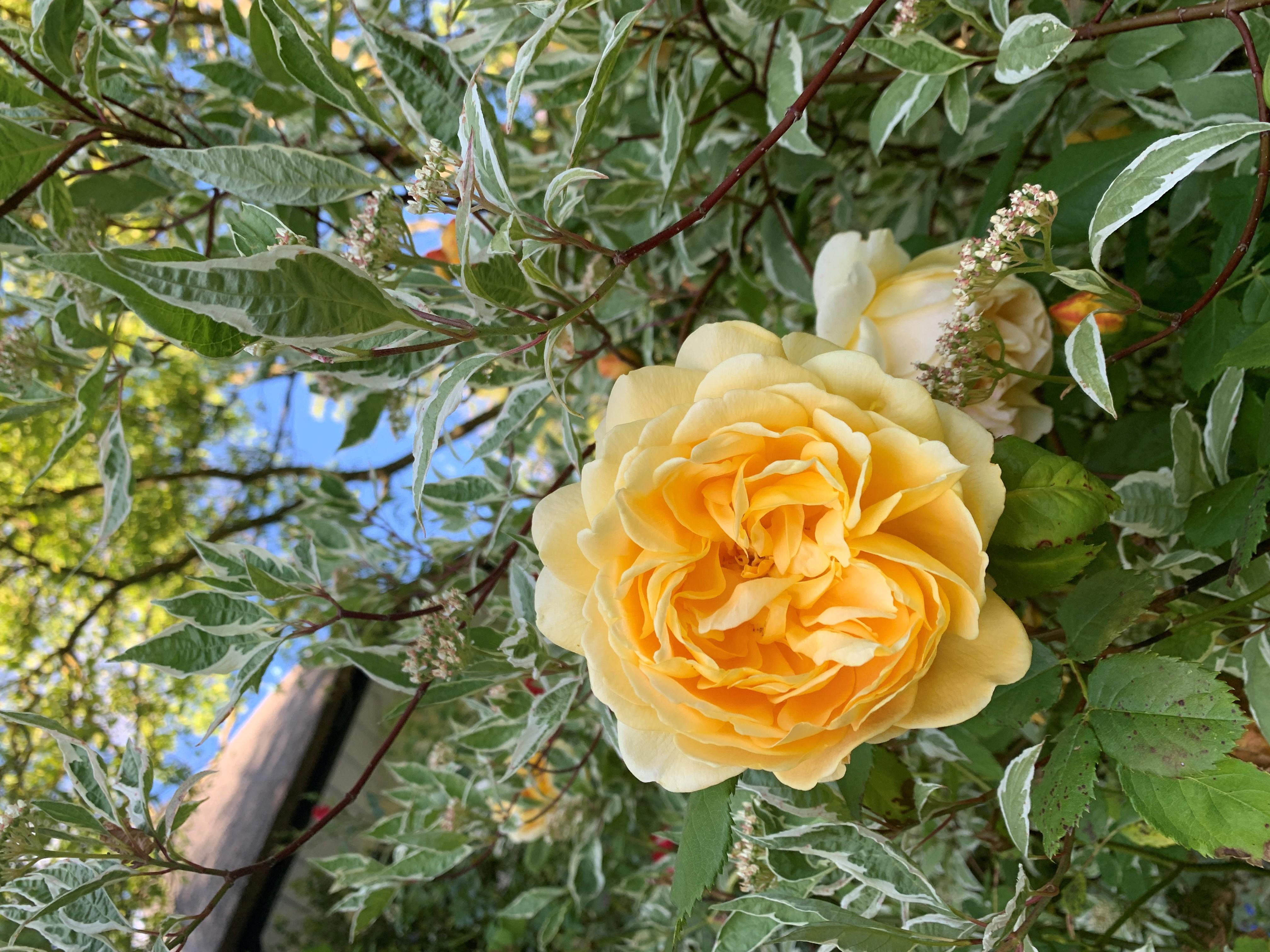 Princess Alexandra's golden celebration rose