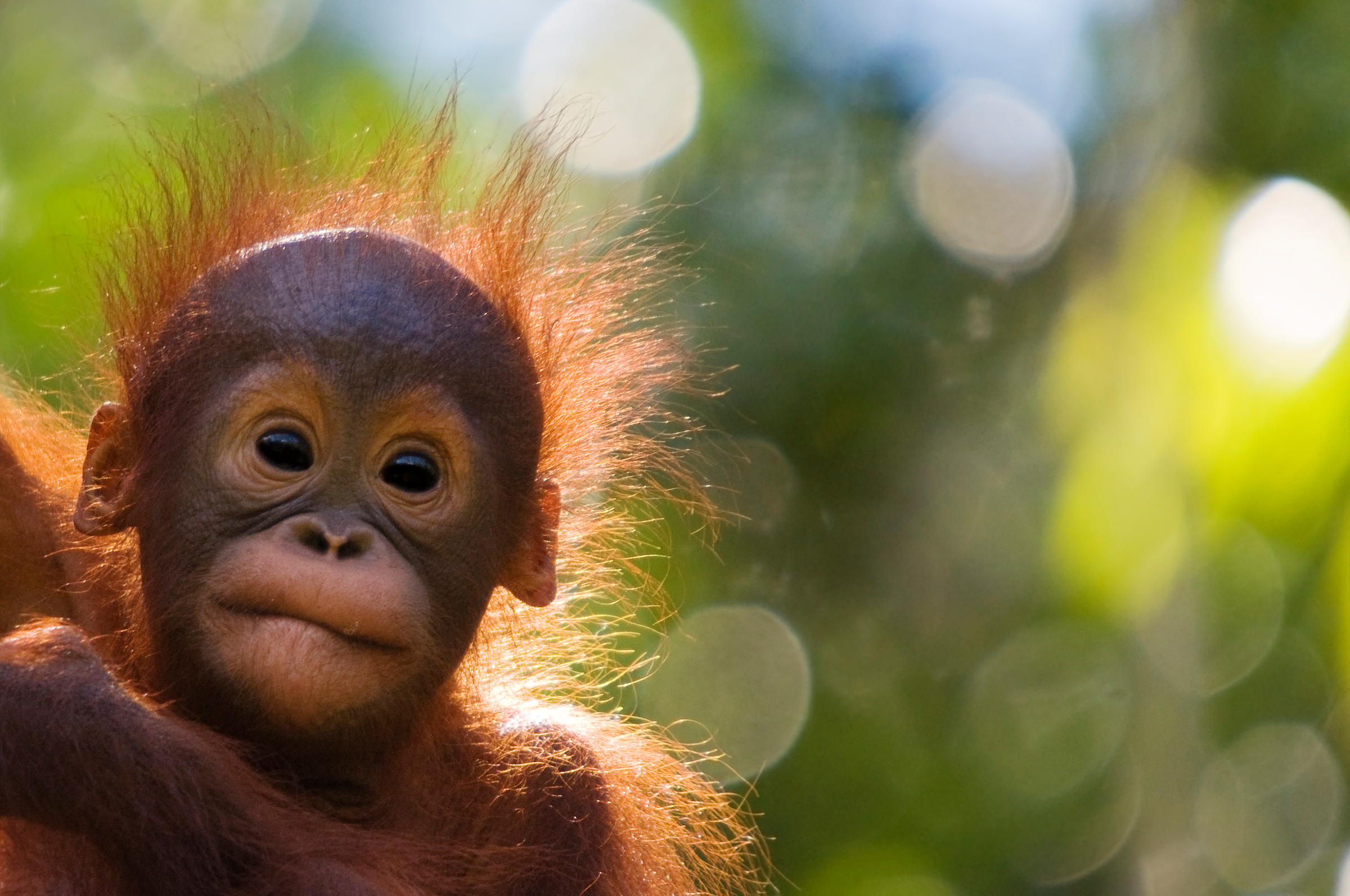 Orangutans are threatened by deforestation in countries such as Malaysia (naturepl.com / Edwin Giesbers / WWF)