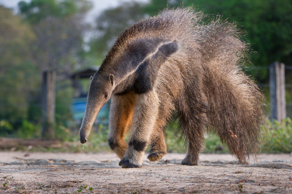 Giant Anteaters are among the species at risk from habitat destruction in Brazil (naturepl.com/Nick Garbutt / WWF)