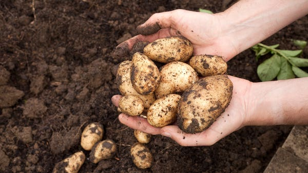 How do you grow your own potatoes?