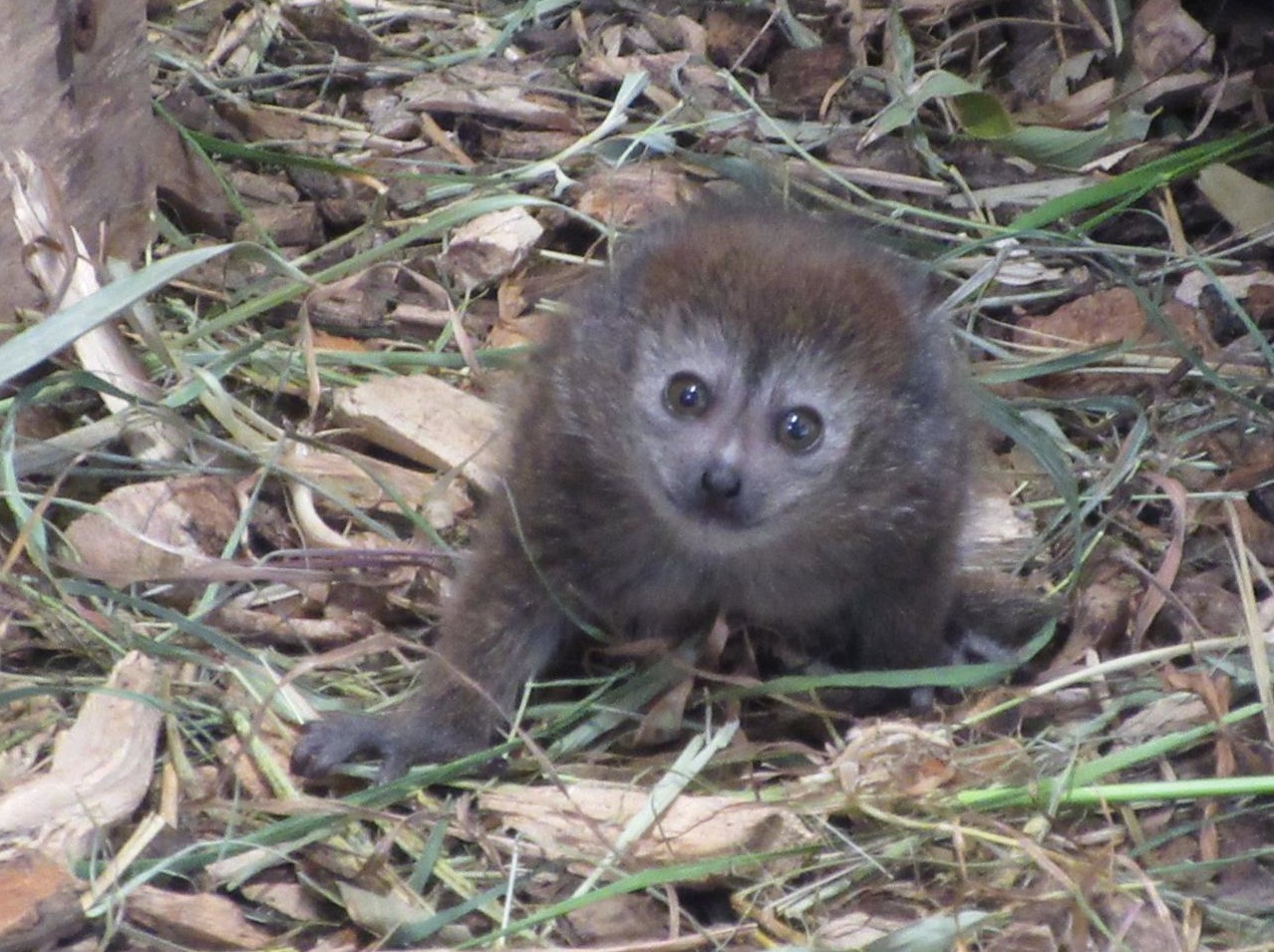 The baby lemur was born at Bristol's Wild Place Project (Wild Place Project/PA).