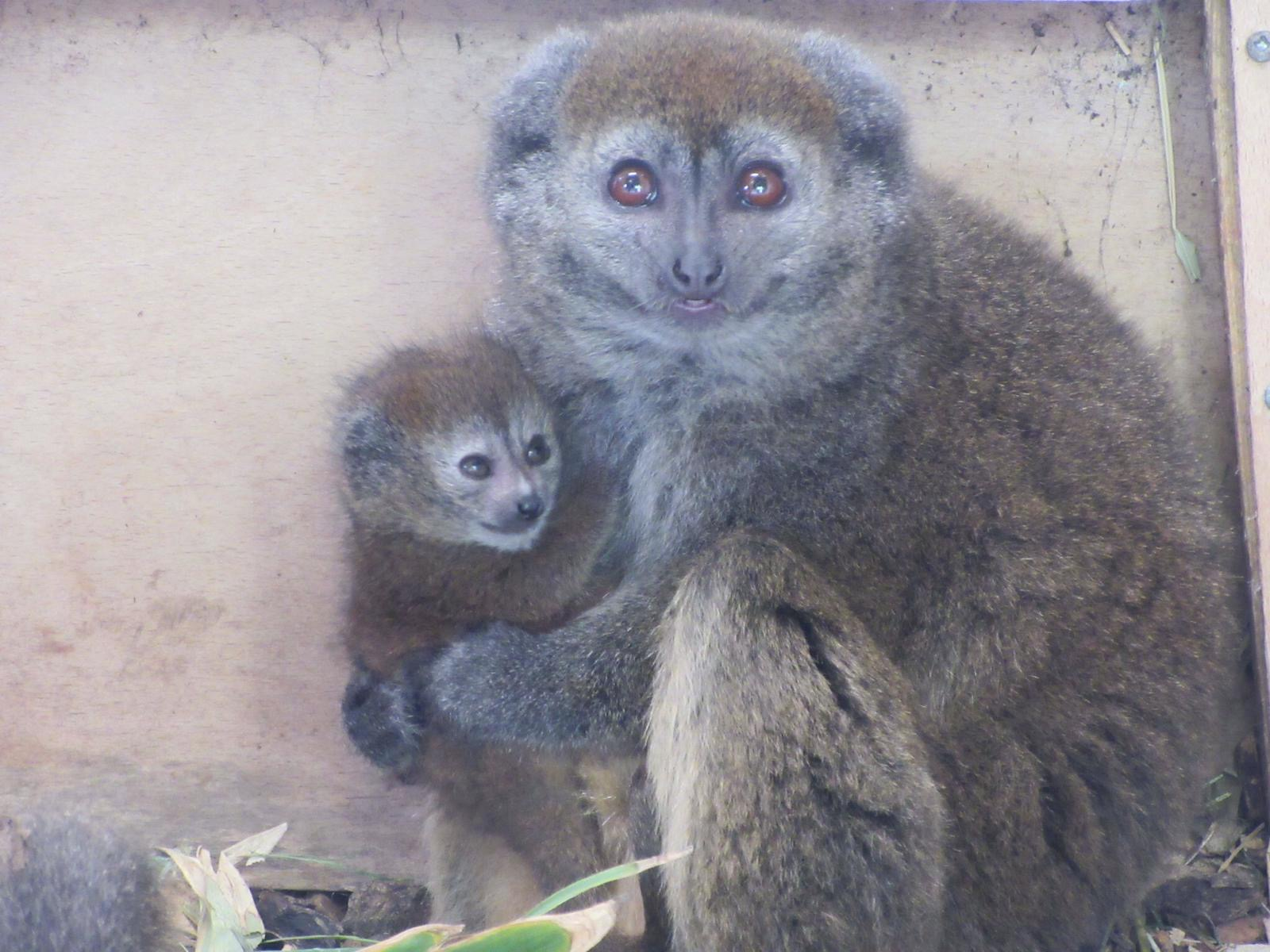 The two-week-old lemur and their mother Tiana (Wild Place Project/PA).