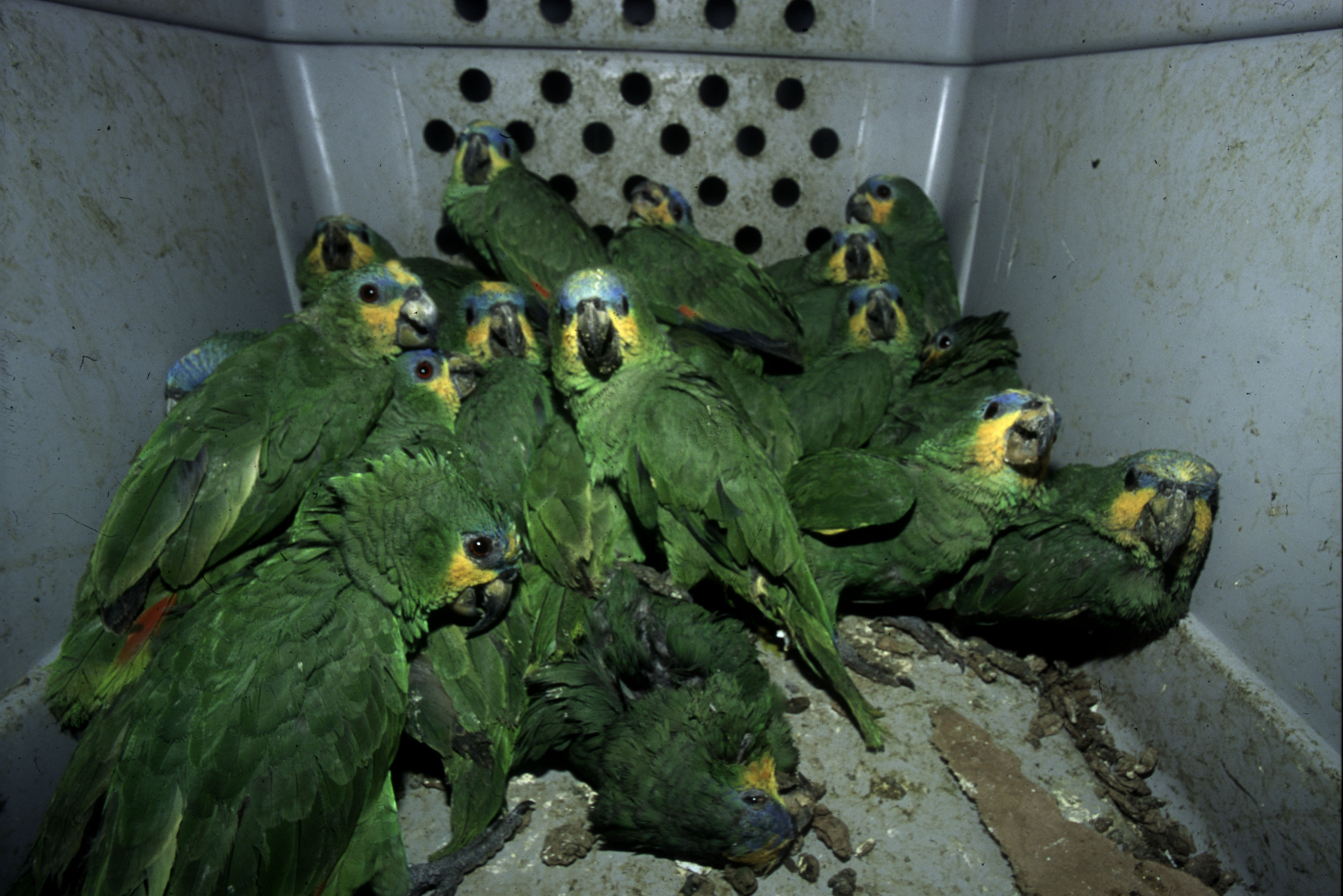 The global wildlife trade is also raising the risk of pandemics, conservationists warn (Roger Leguen / WWF)