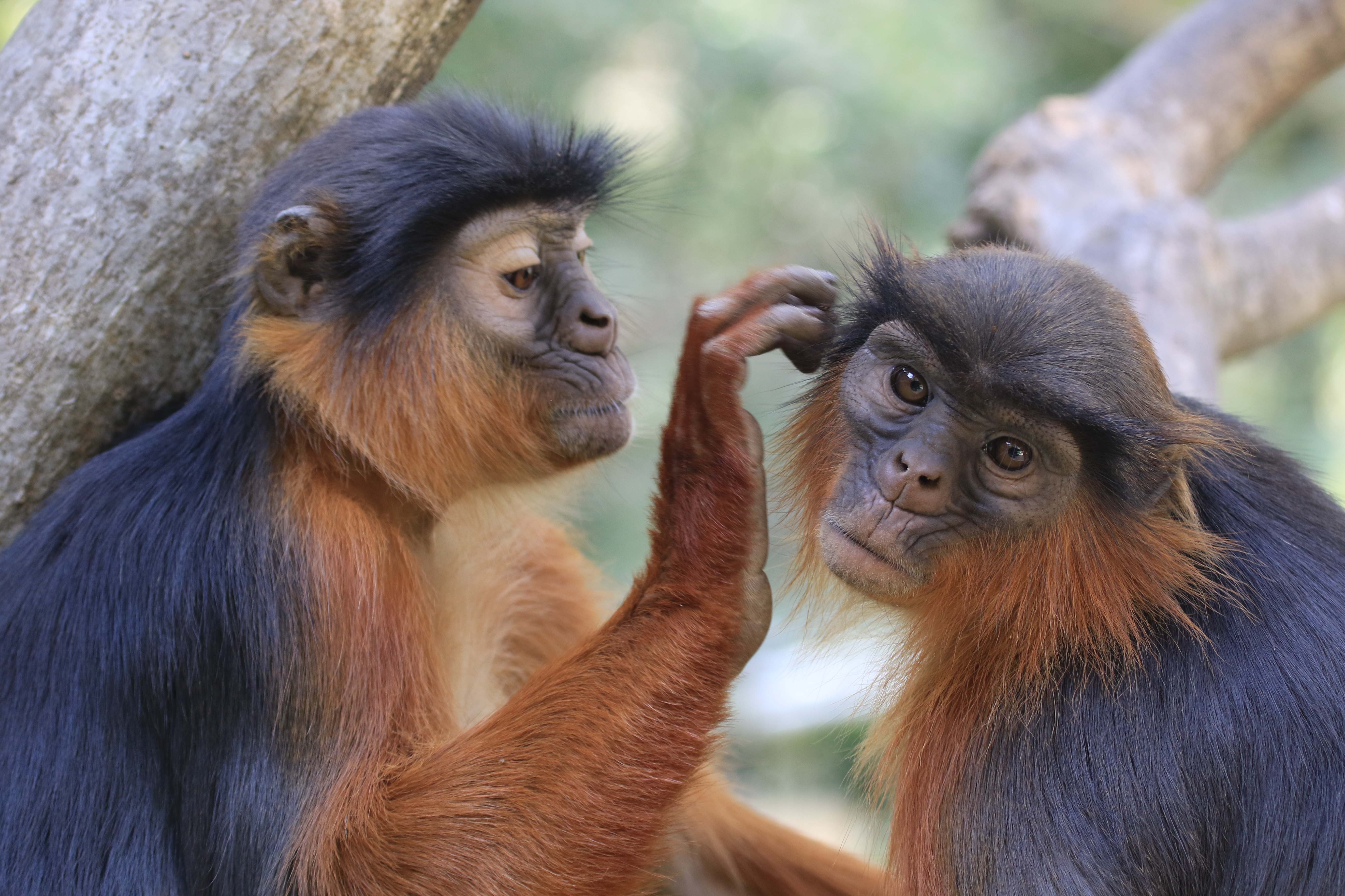 All species of red colobus monkey, including these Temminck's red colobus are under threat (Mic Mayhew)
