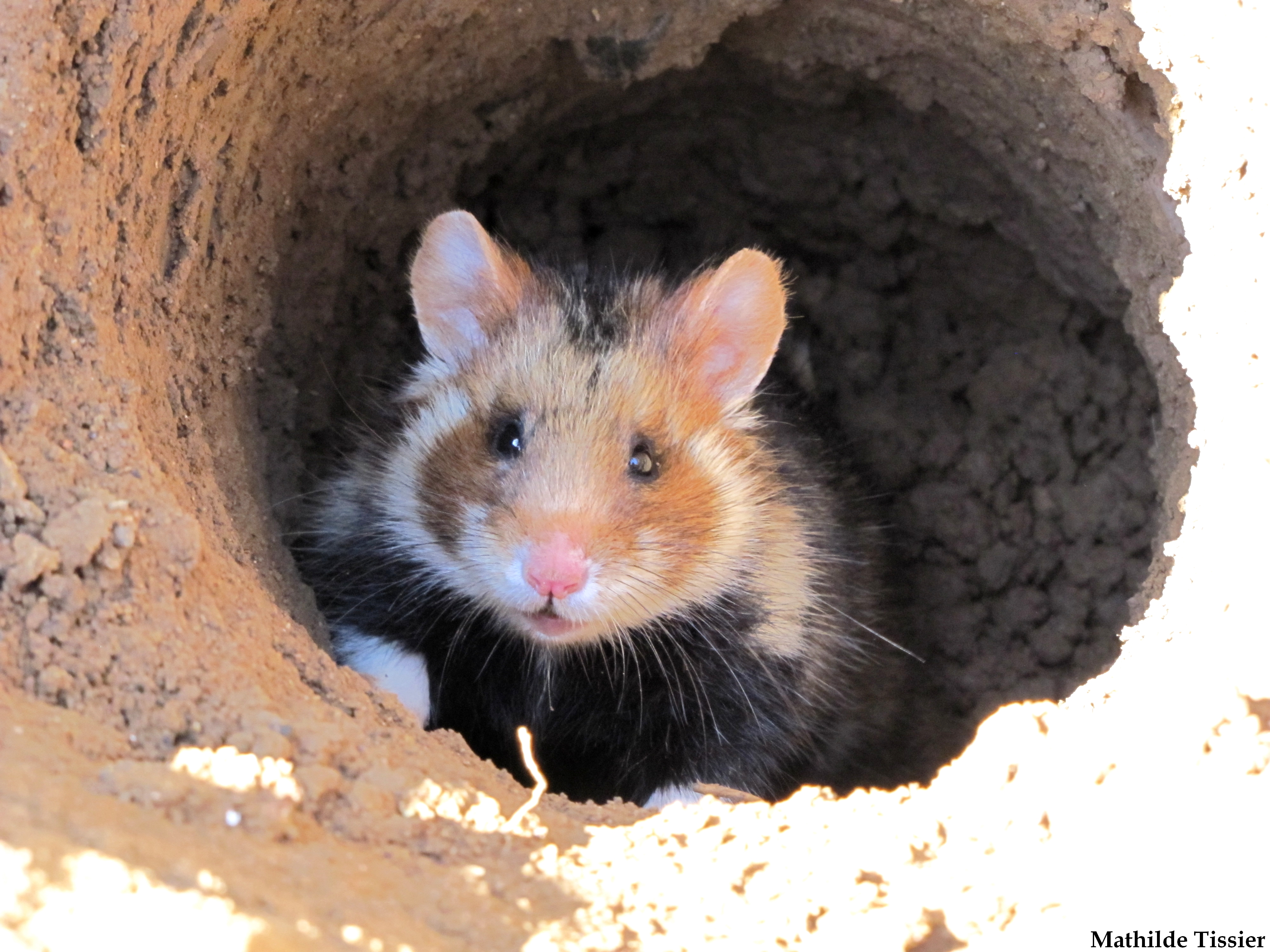 European hamsters are giving birth to fewer young (Mathilde Tissier/IPHC – LIFE Alister)