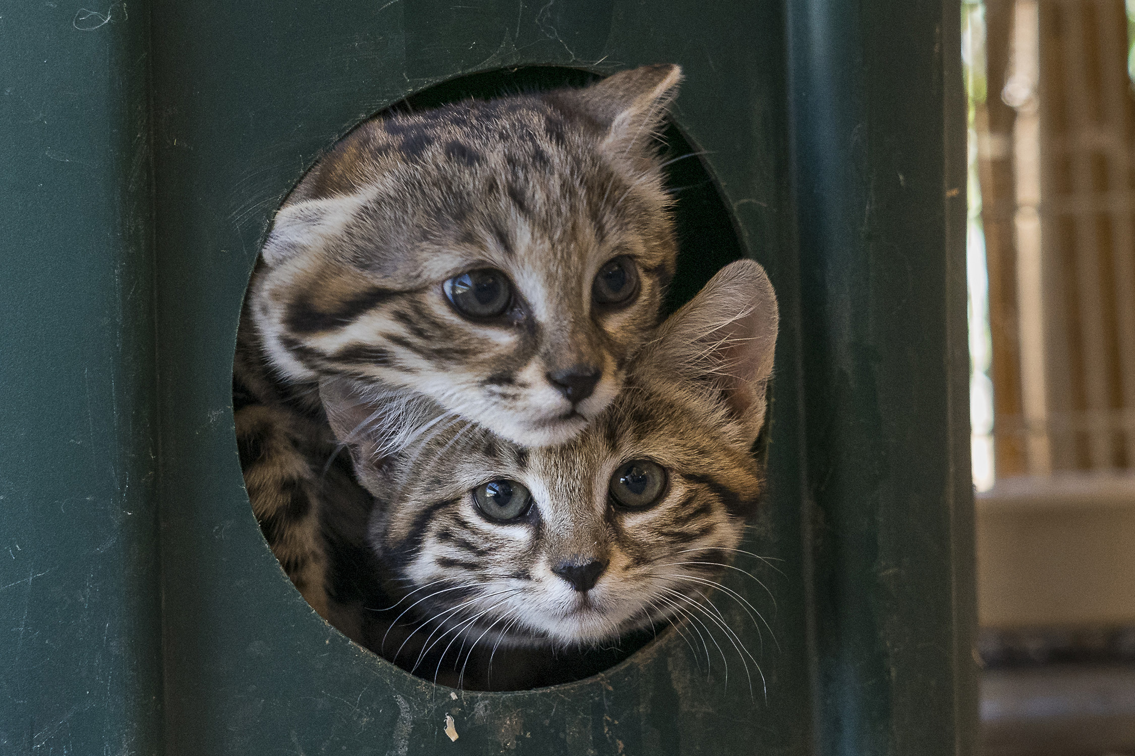 Two black-footed kittens at San Diego Zoo