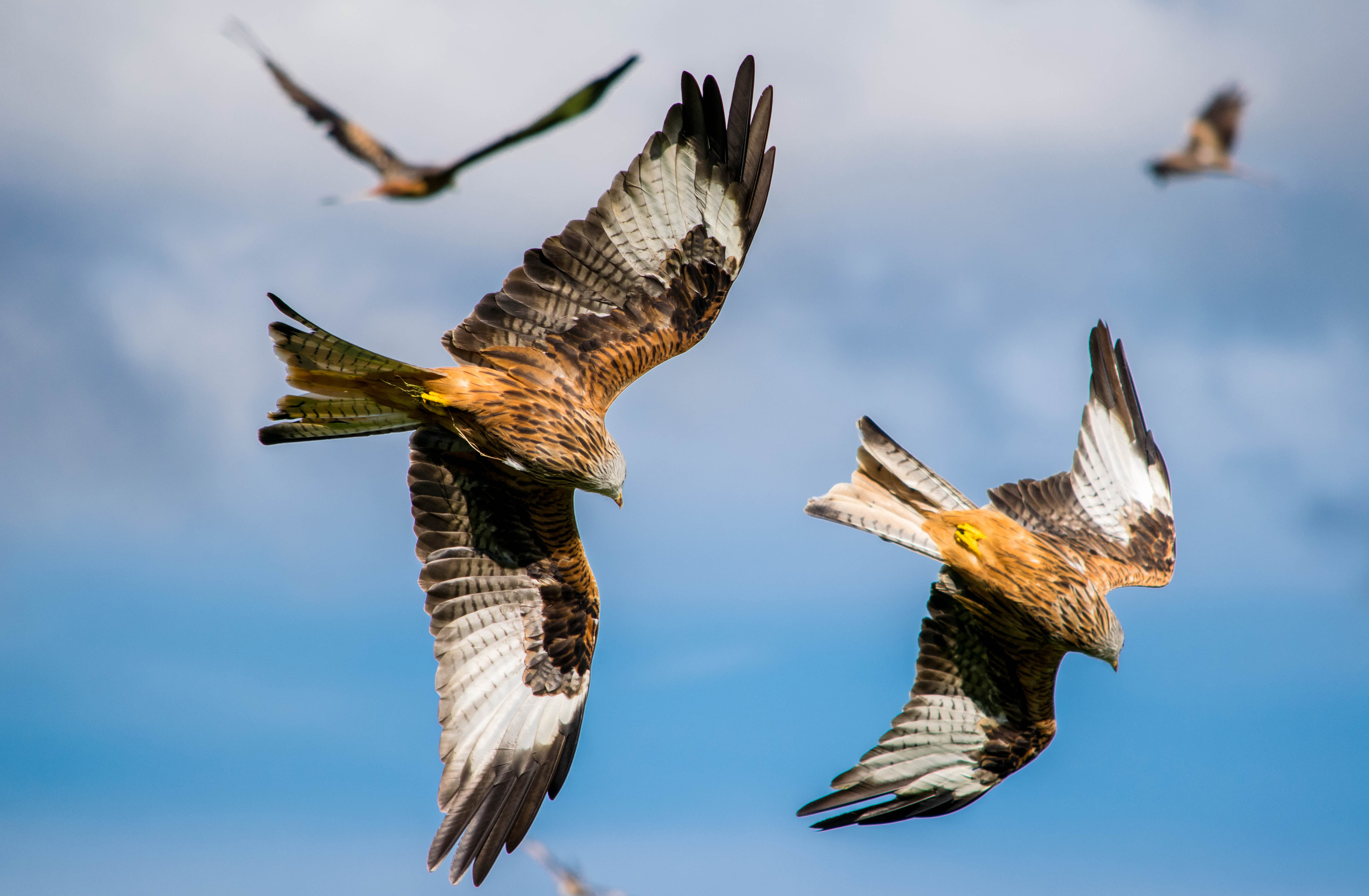 red kites flying