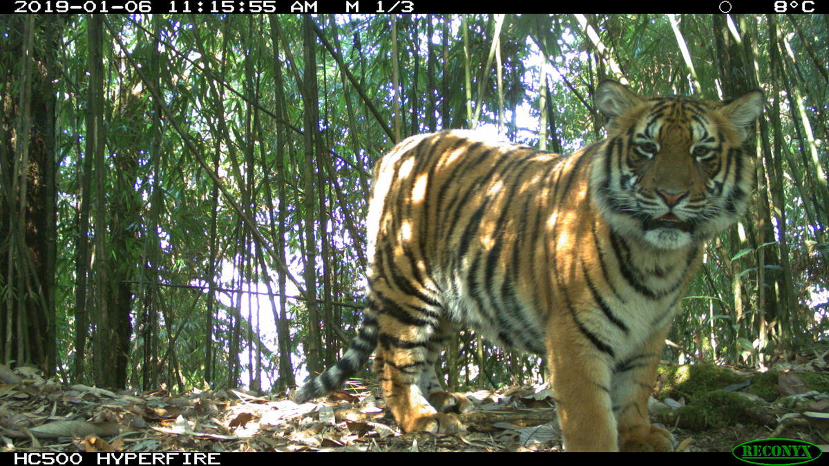 A camera trap image of Rewa tiger family in Jigme Single Wangchuck National Park, Bhutan