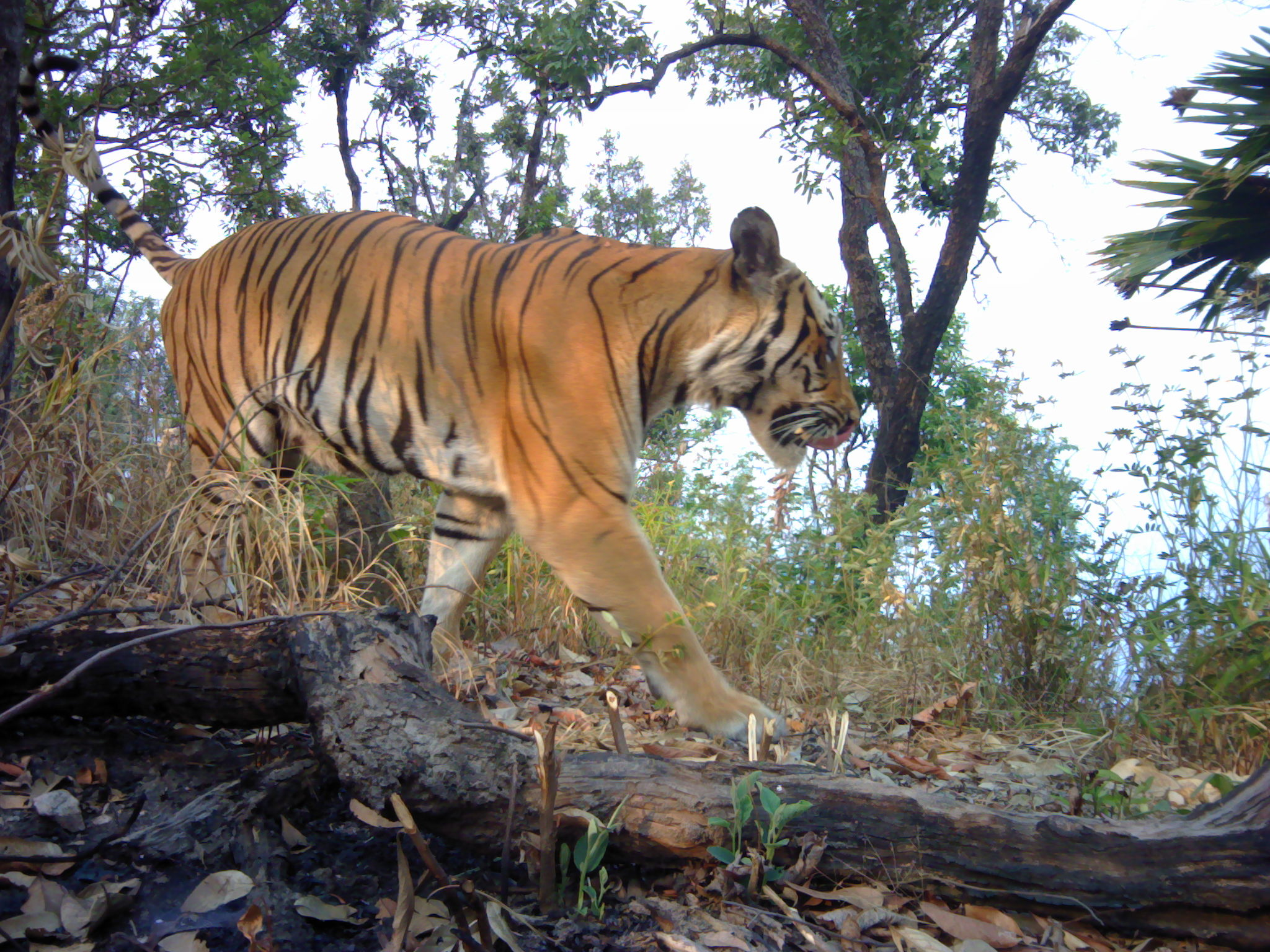 An endangered tiger in western Thailand caught on camera (DNP/PANTHERA/ZSL/RCU/PA)