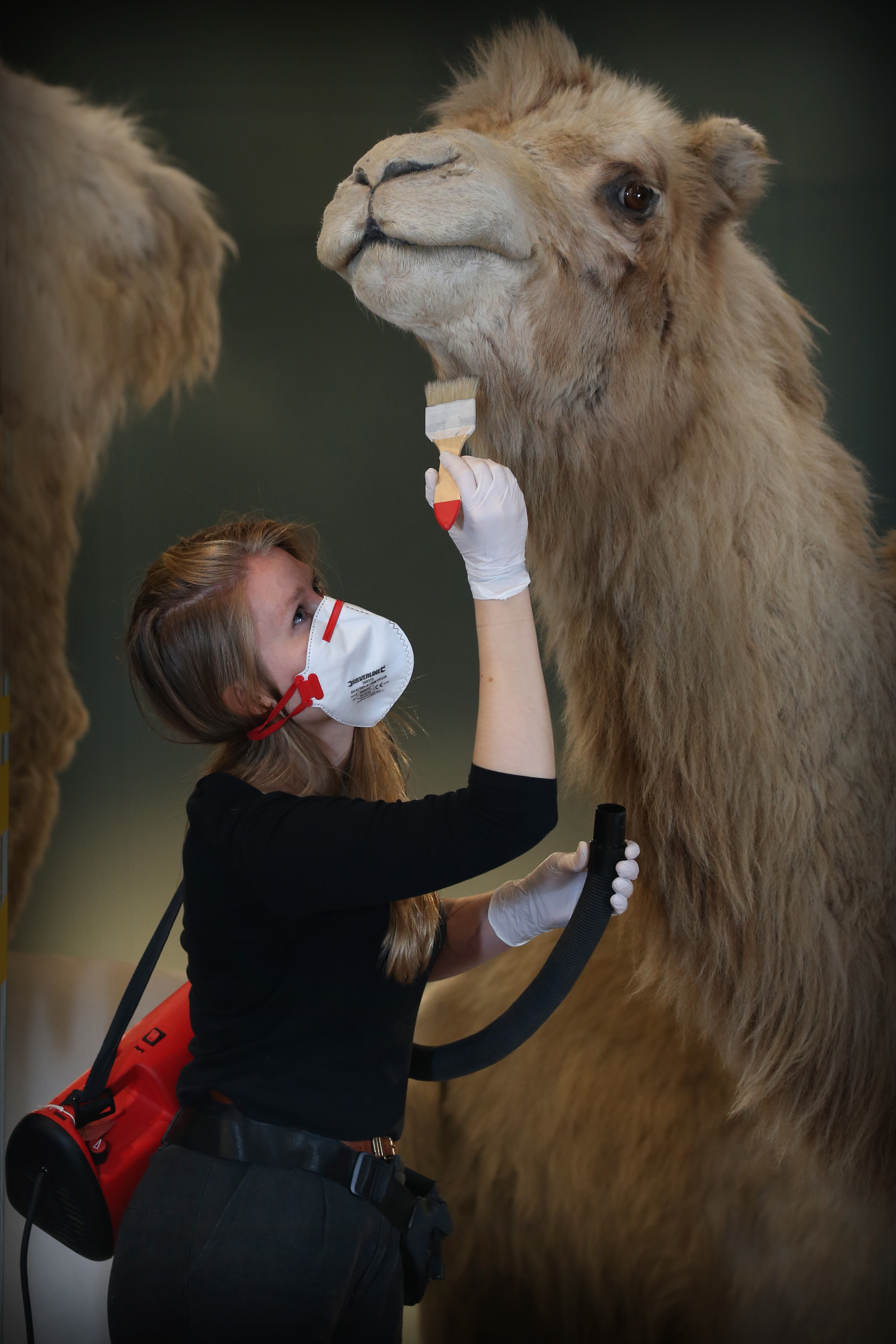 Staff cleans camel