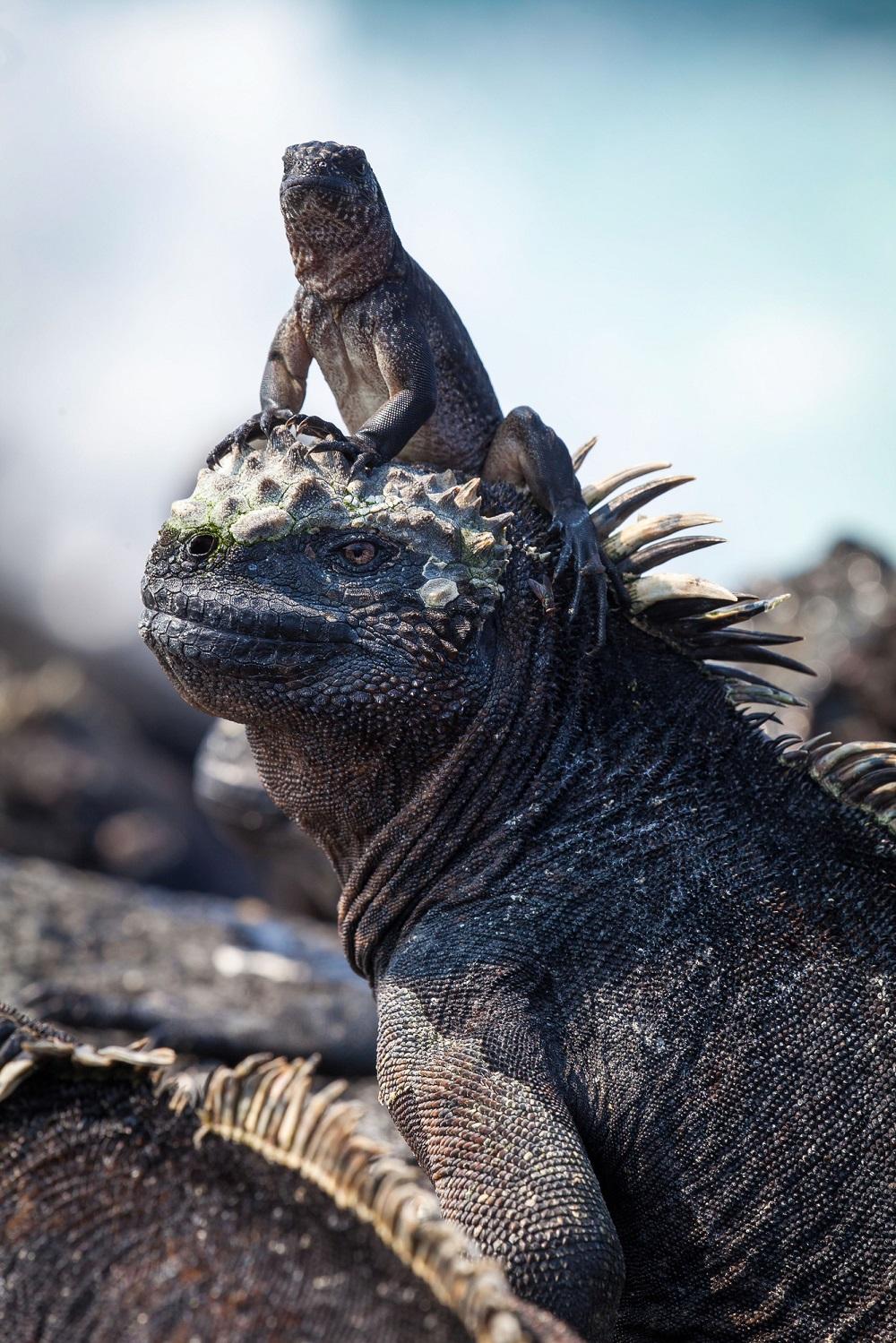 A hatchling marine iguana
