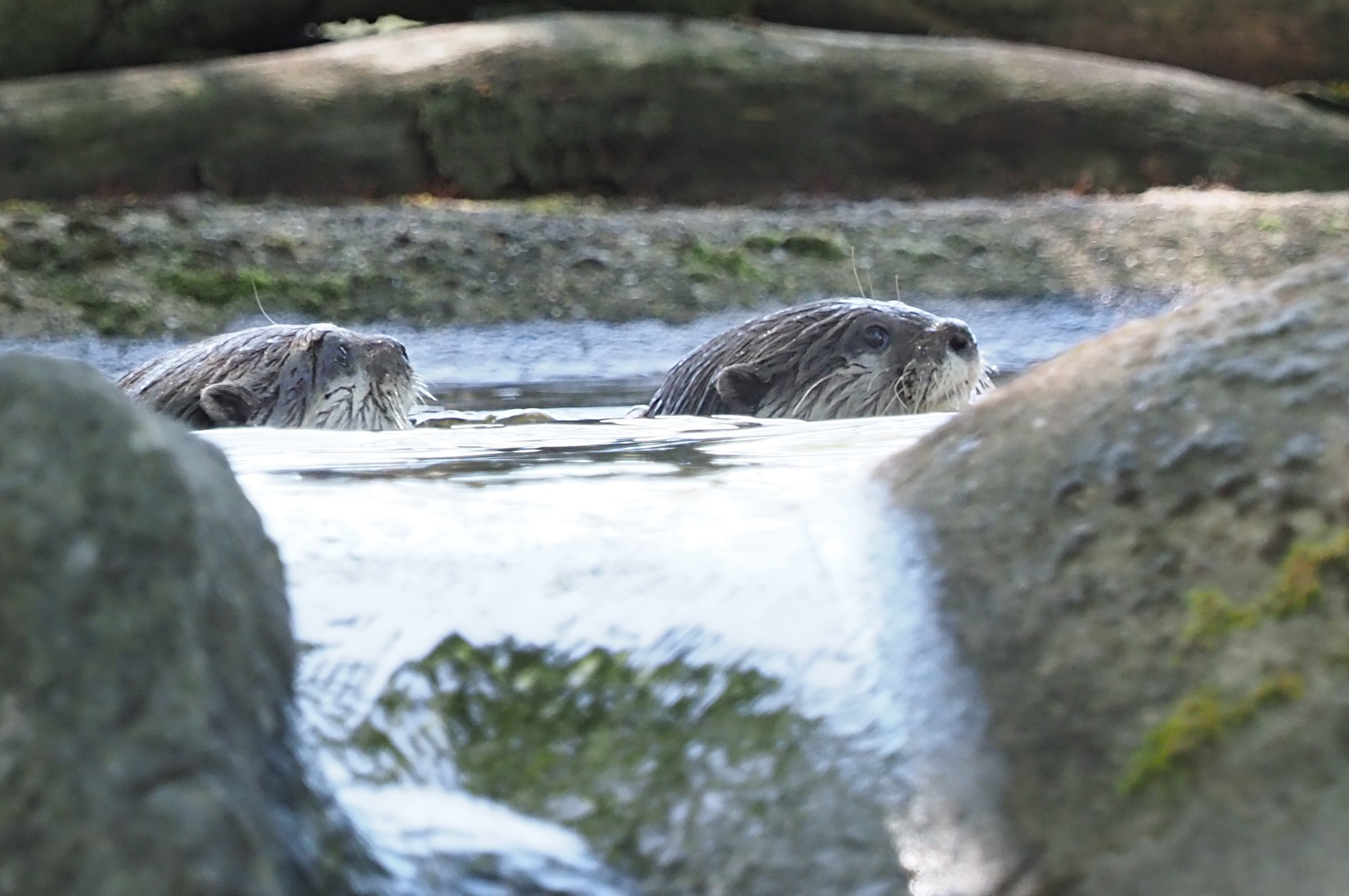Two otters at ZSL Whipsnade Zoo