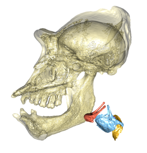 Gorilla skull and larynx