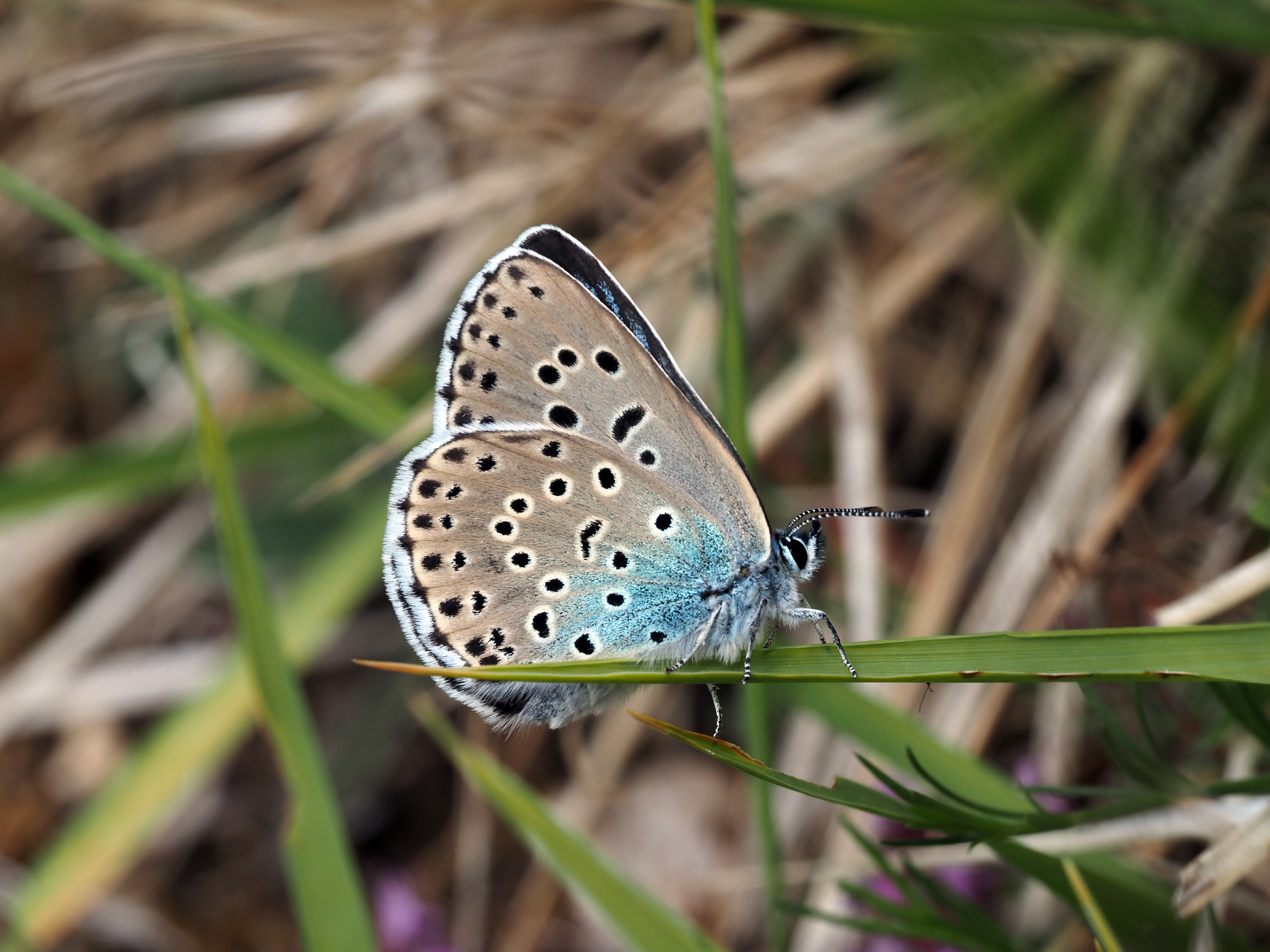 The large blue is the largest and rarest of Britain's nine blue butterfly species(Sarah Meredith)