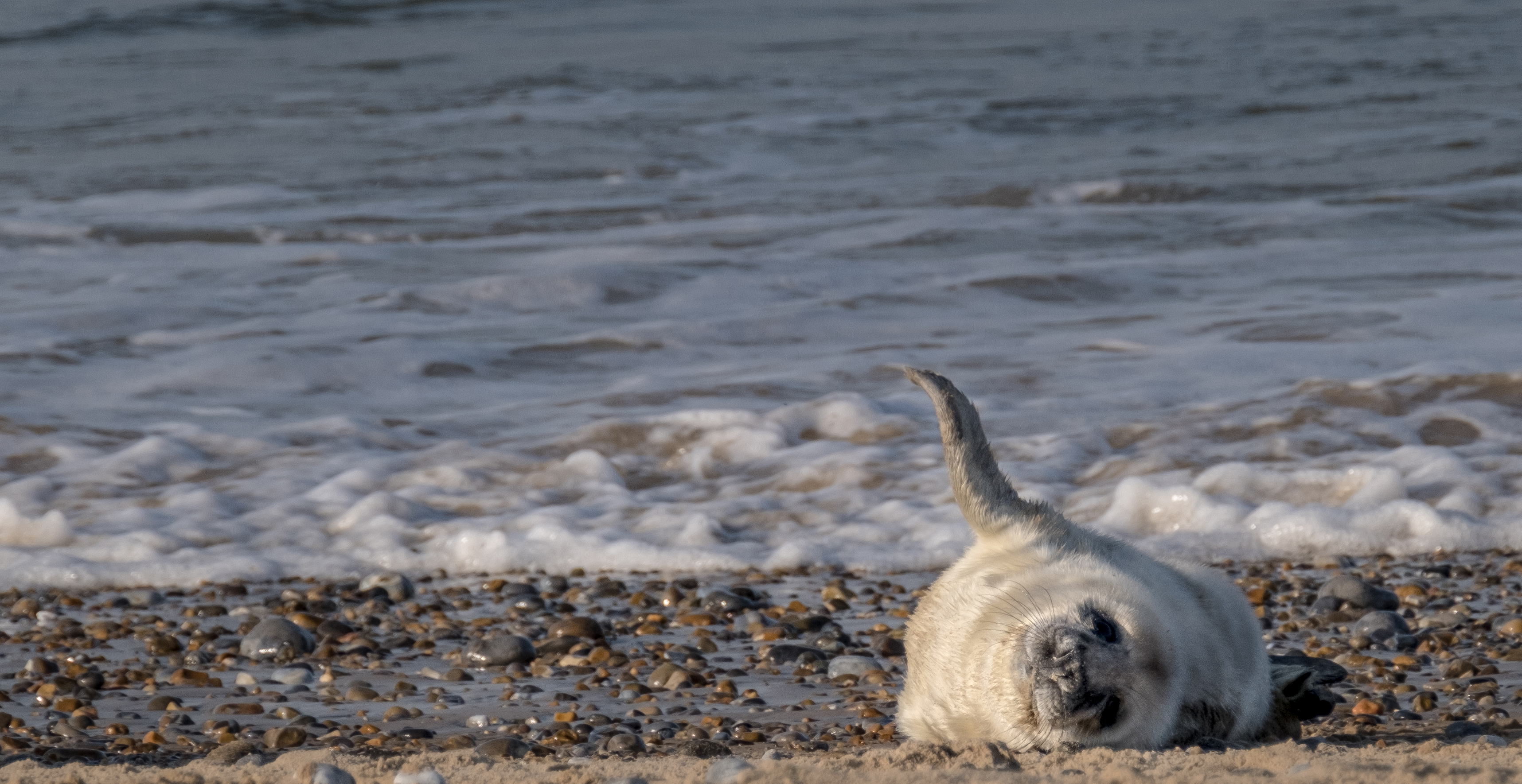 A new arrival at Blakeney Point in Norfolk, cared for by the National Trust (National Trust/Hanne Siebers/PA)