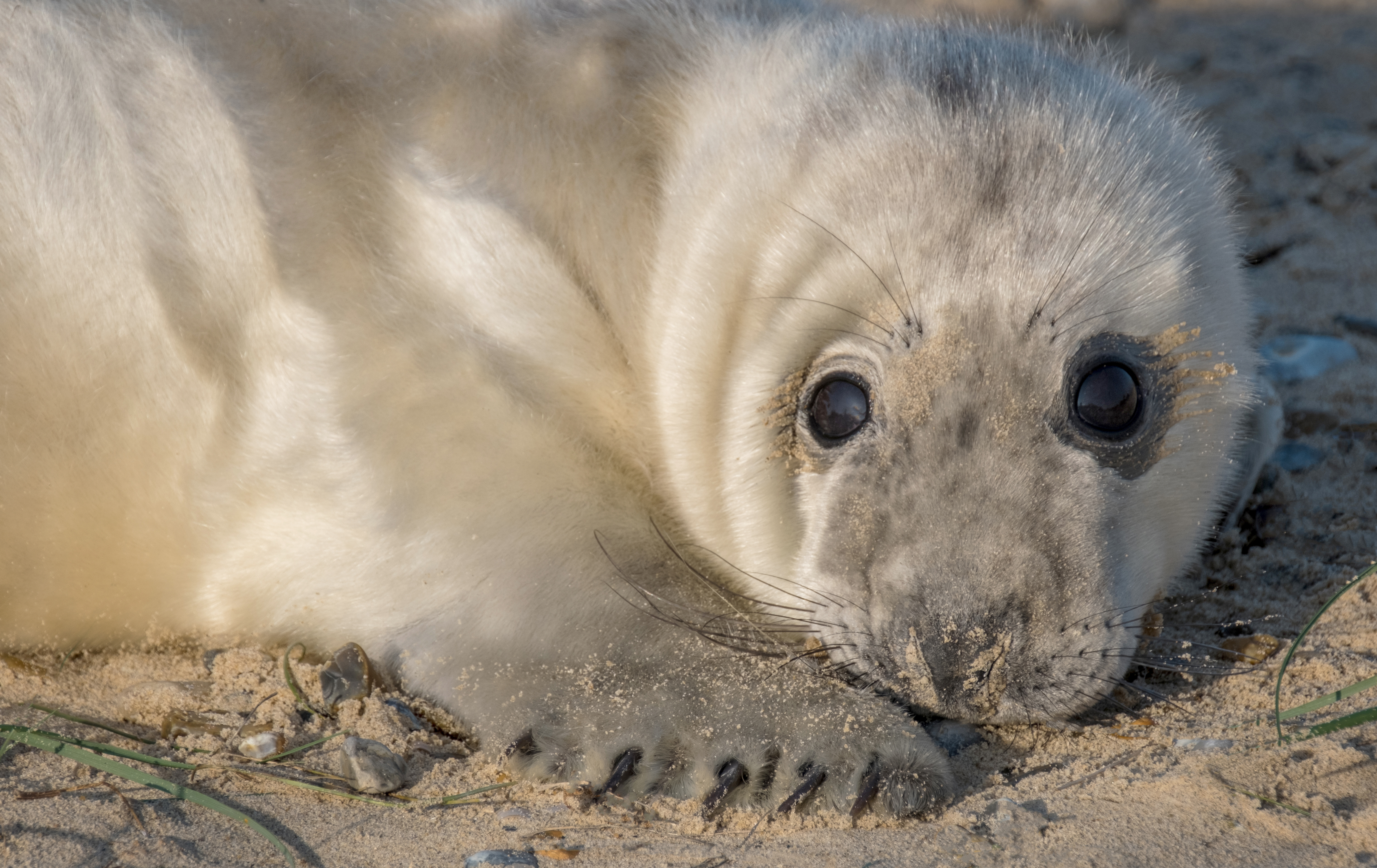 The National Trust is expecting 4,000 grey seal pups to be born at Blakeney this winter (National Trust/Hanne Siebers/PA)