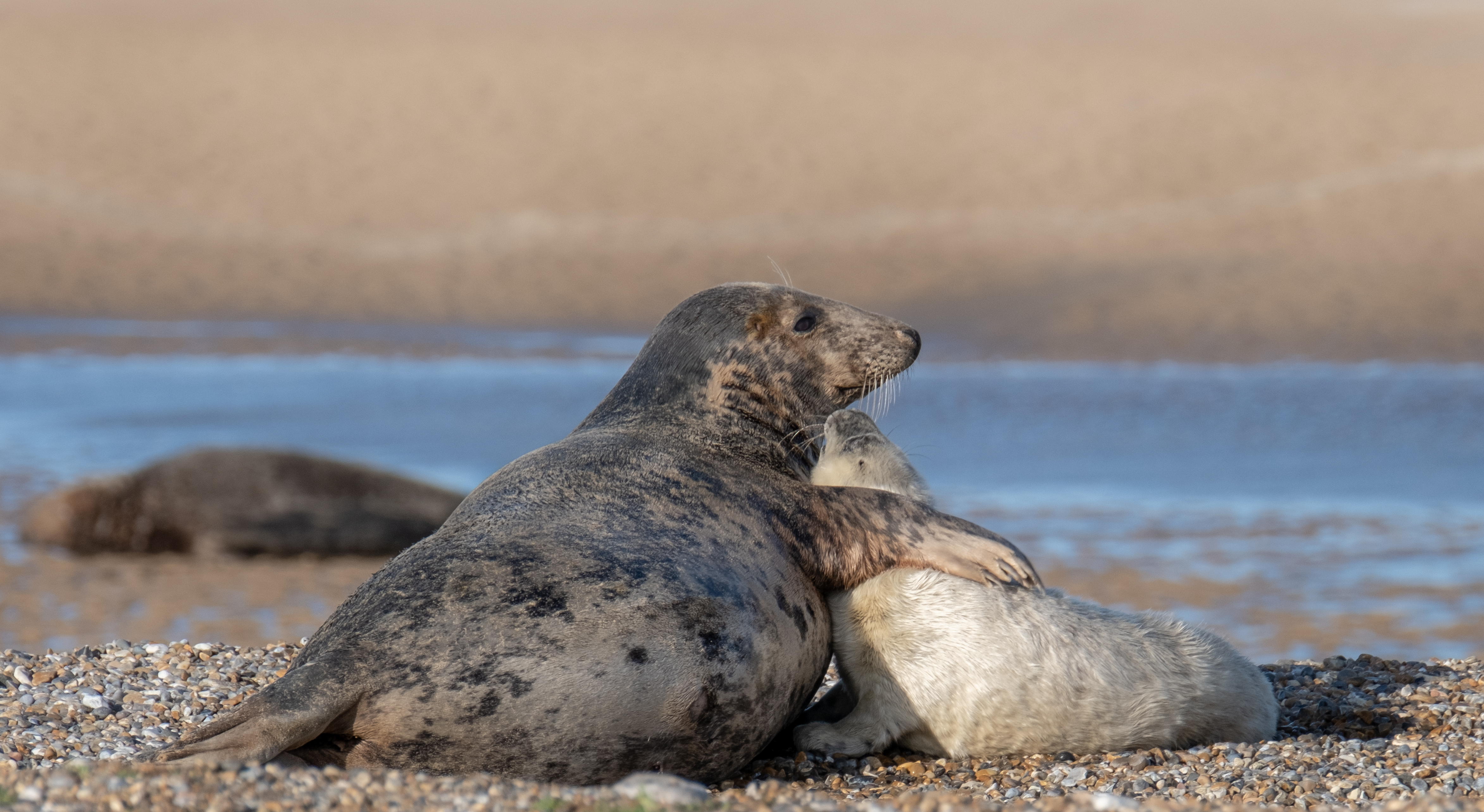 Mother and pup at Blakeney Point (National Trust Images/Hanne Siebers/PA)