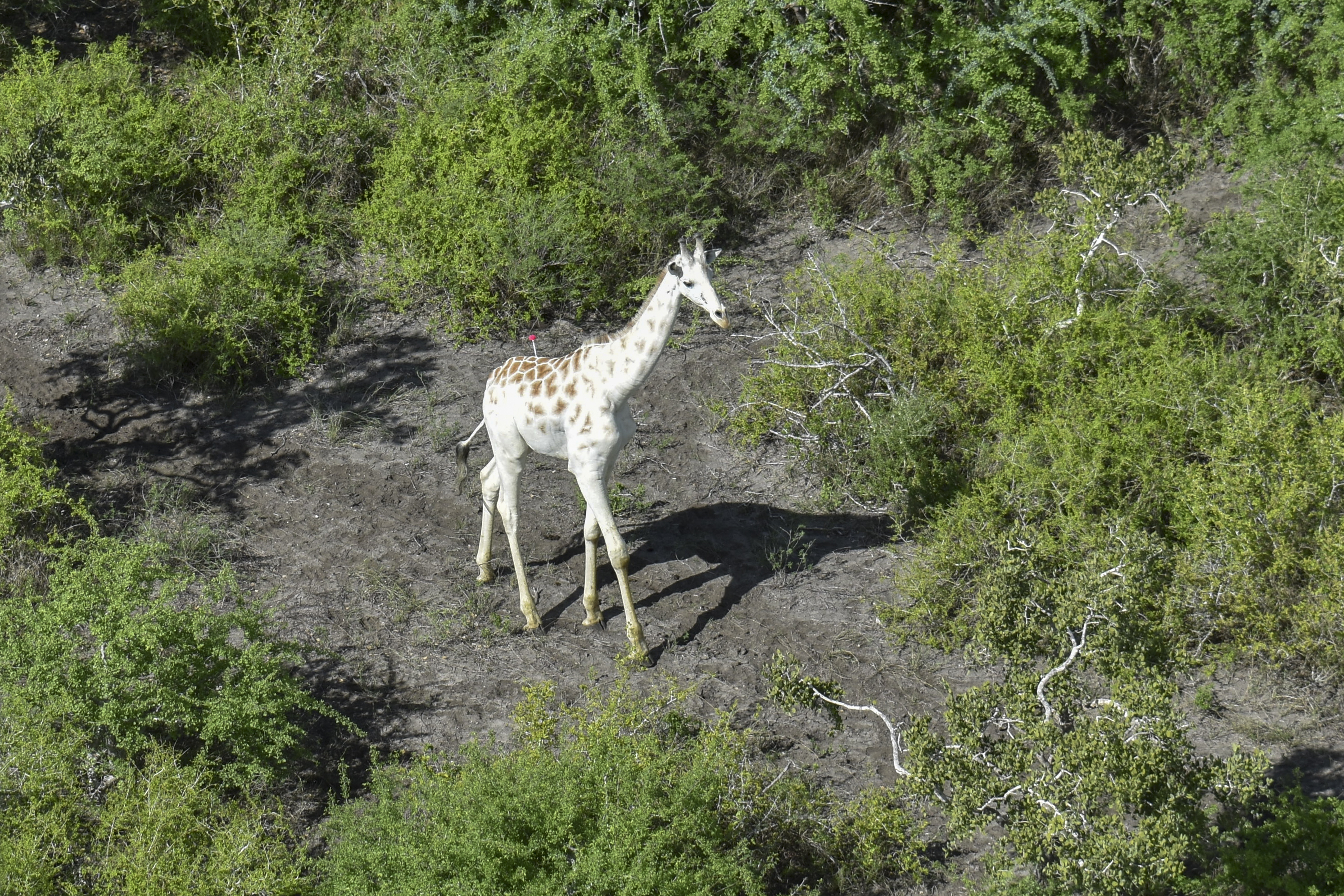A male giraffe with a rare genetic trait called leucism that causes a white colour