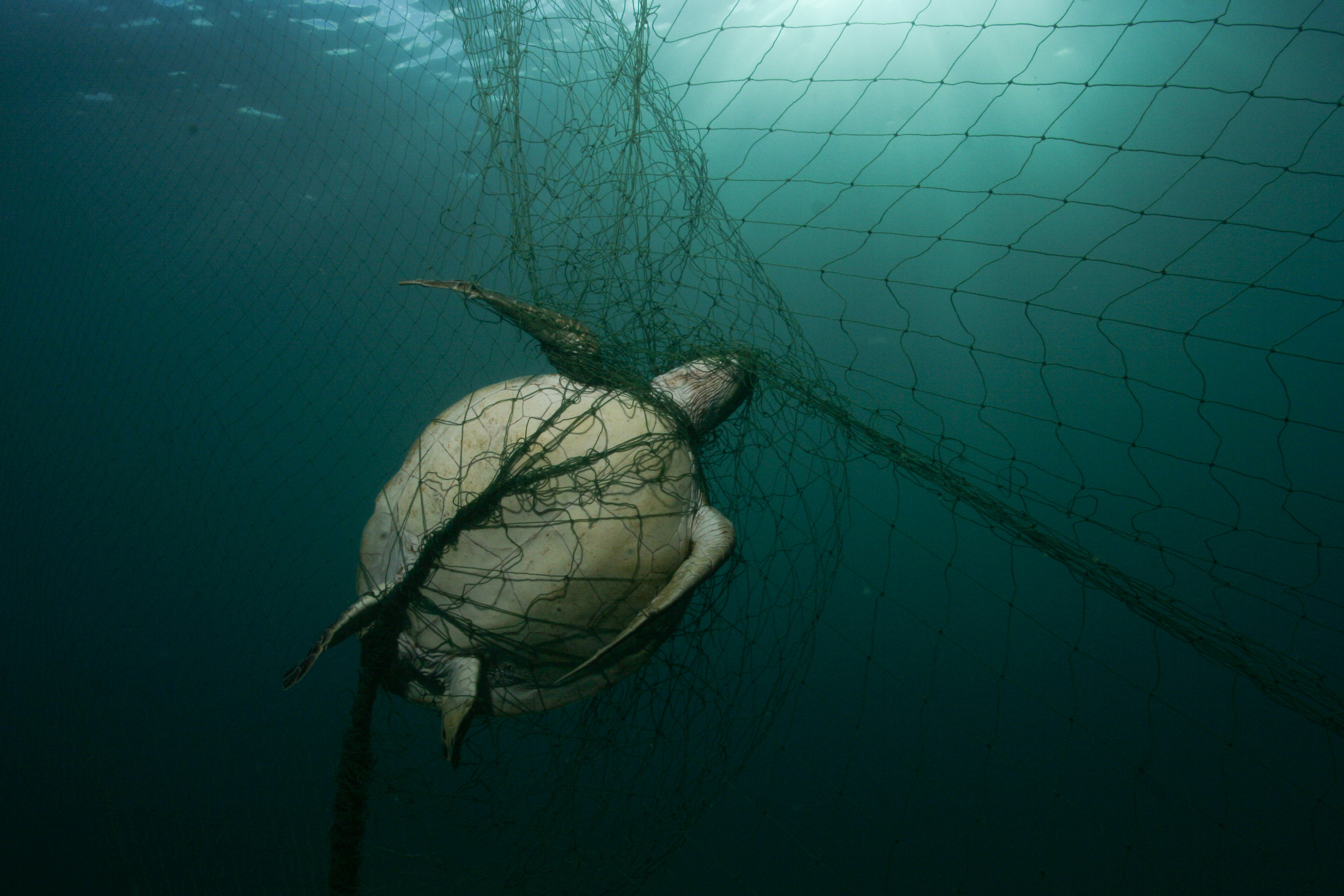 Drowned green turtle entangled in a gillnet on Tobago, Caribbean Sea (Philipp Kanstinger/ WWF/PA)