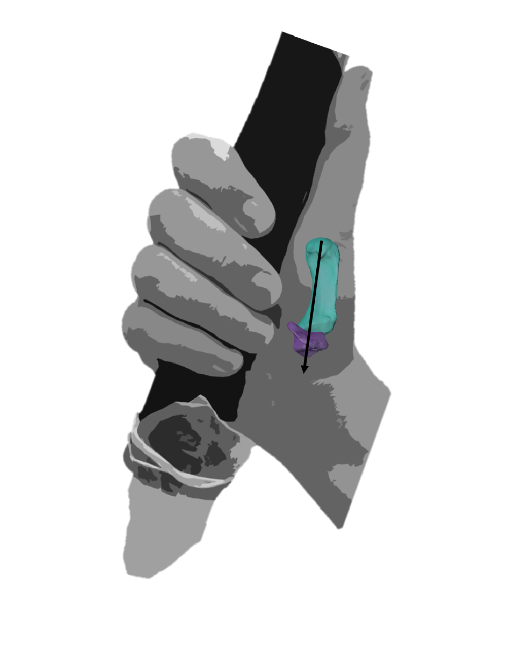 A modern human hand demonstrating a power squeeze grip
