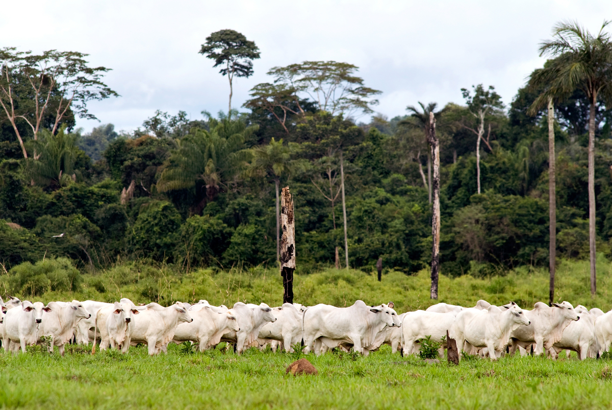 Herd of cattle with a native forest in the background, in the region of Alta Floresta, state of Mato Grosso, Brazil