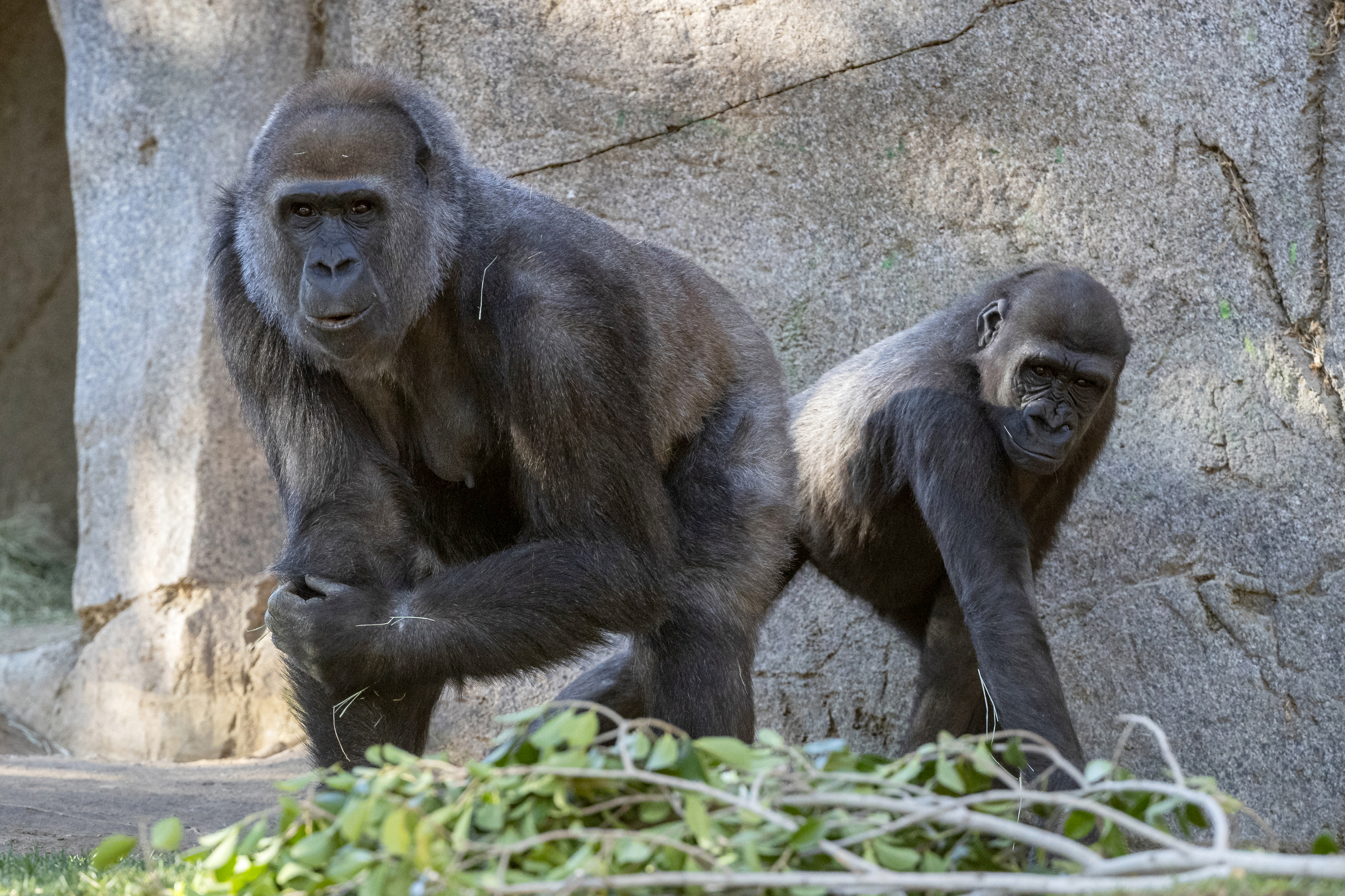 Leslie, a silverback gorilla, left, and a gorilla named Imani are seen in their enclosure at the San Diego Zoo Safari Park in Escondido, California