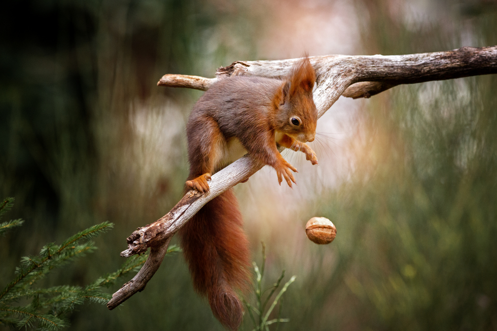 red squirrel dropping a nut