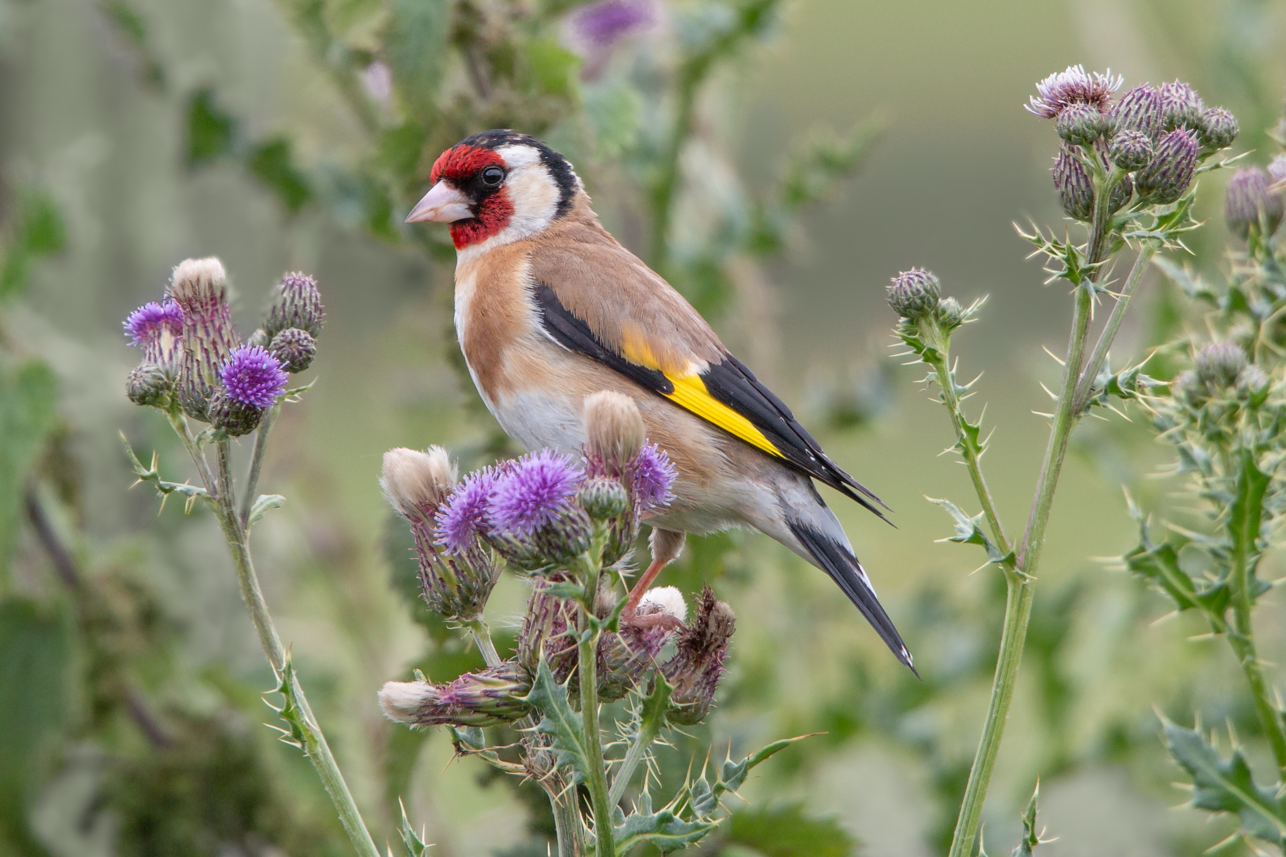 Goldfinch perched in a thistle (iStock/PA)