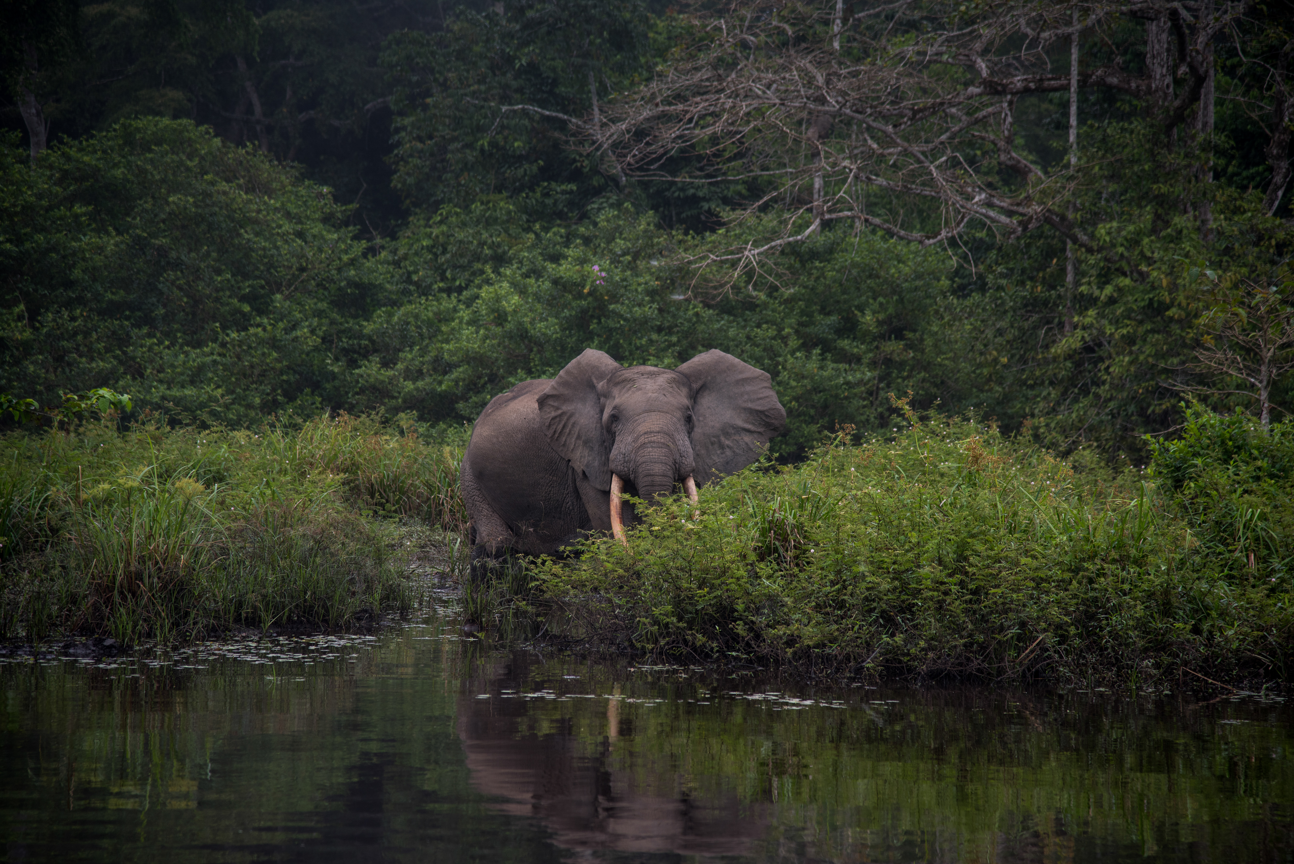 Forest elephant by the water's edge (Frank af Petersens/Save the Elephants/PA)
