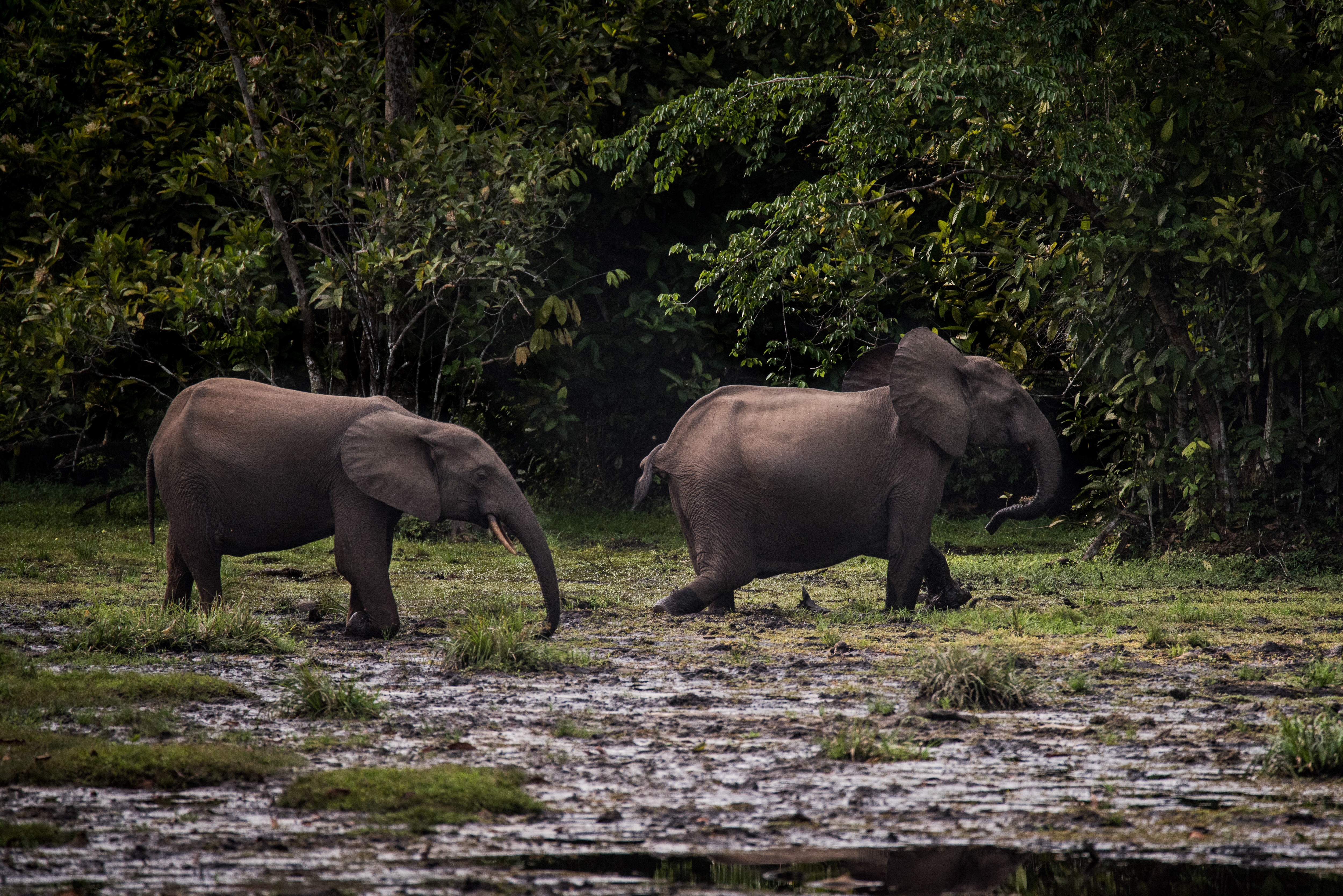 Forest elephants in Odzala-Kokoua National Park, Rep. of Congo © Frank af Petersens_Save the Elephants