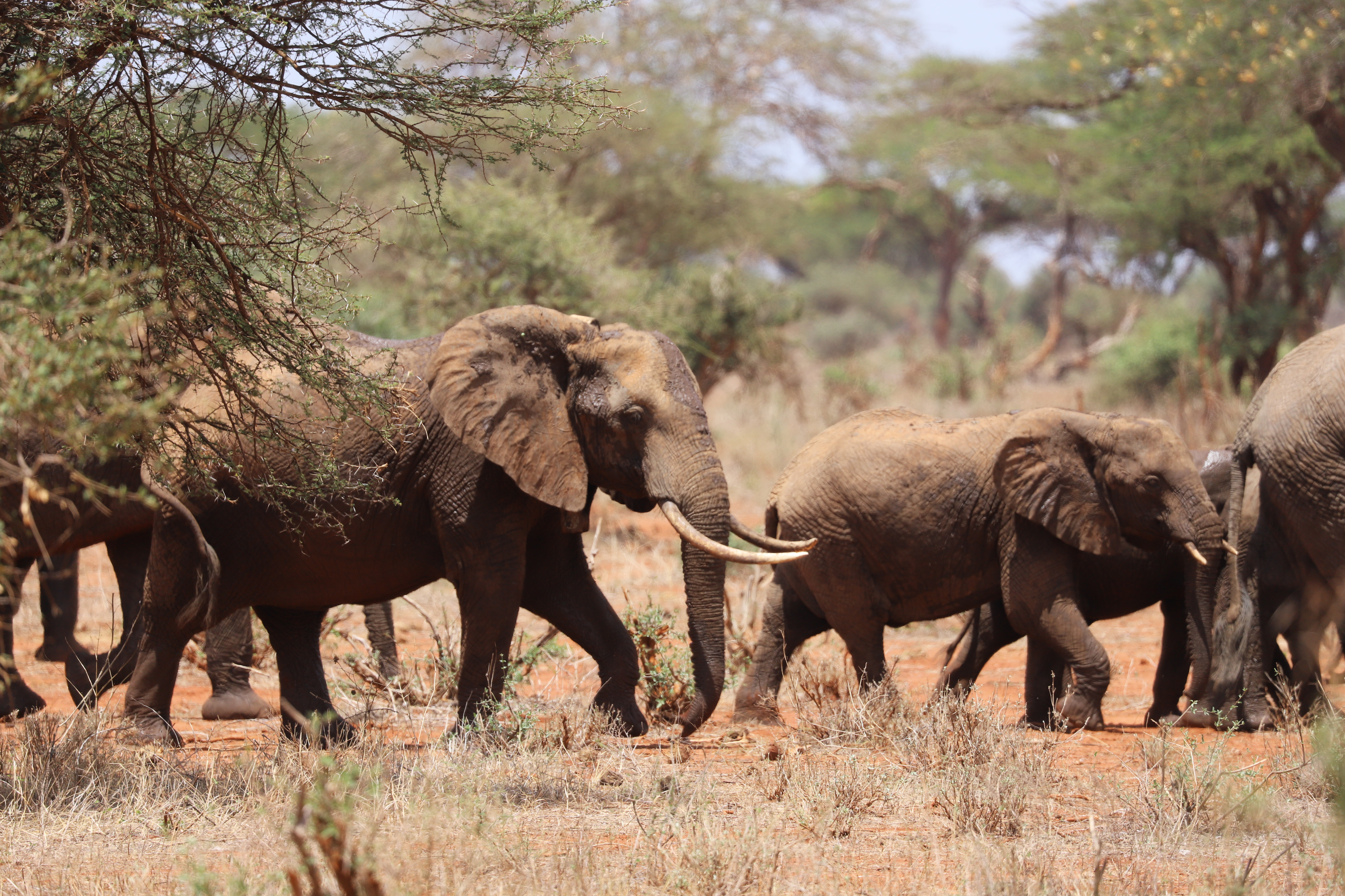 Elephants in Tsavo (Lydia Tiller/Save the Elephants/PA)