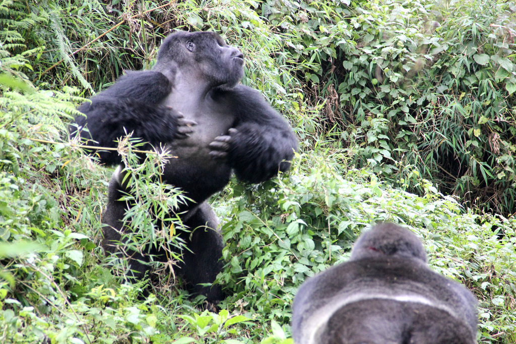 A silverback gorilla chest beating during an inter-group interaction