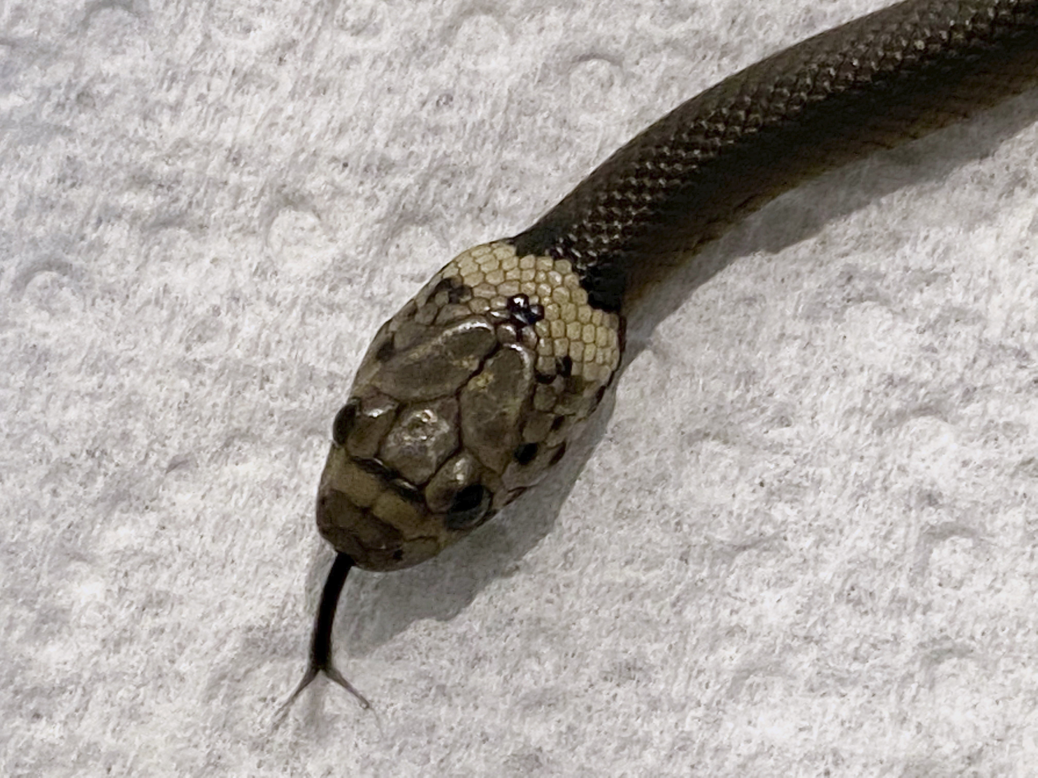 A pale-headed snake is photographed in Sydney