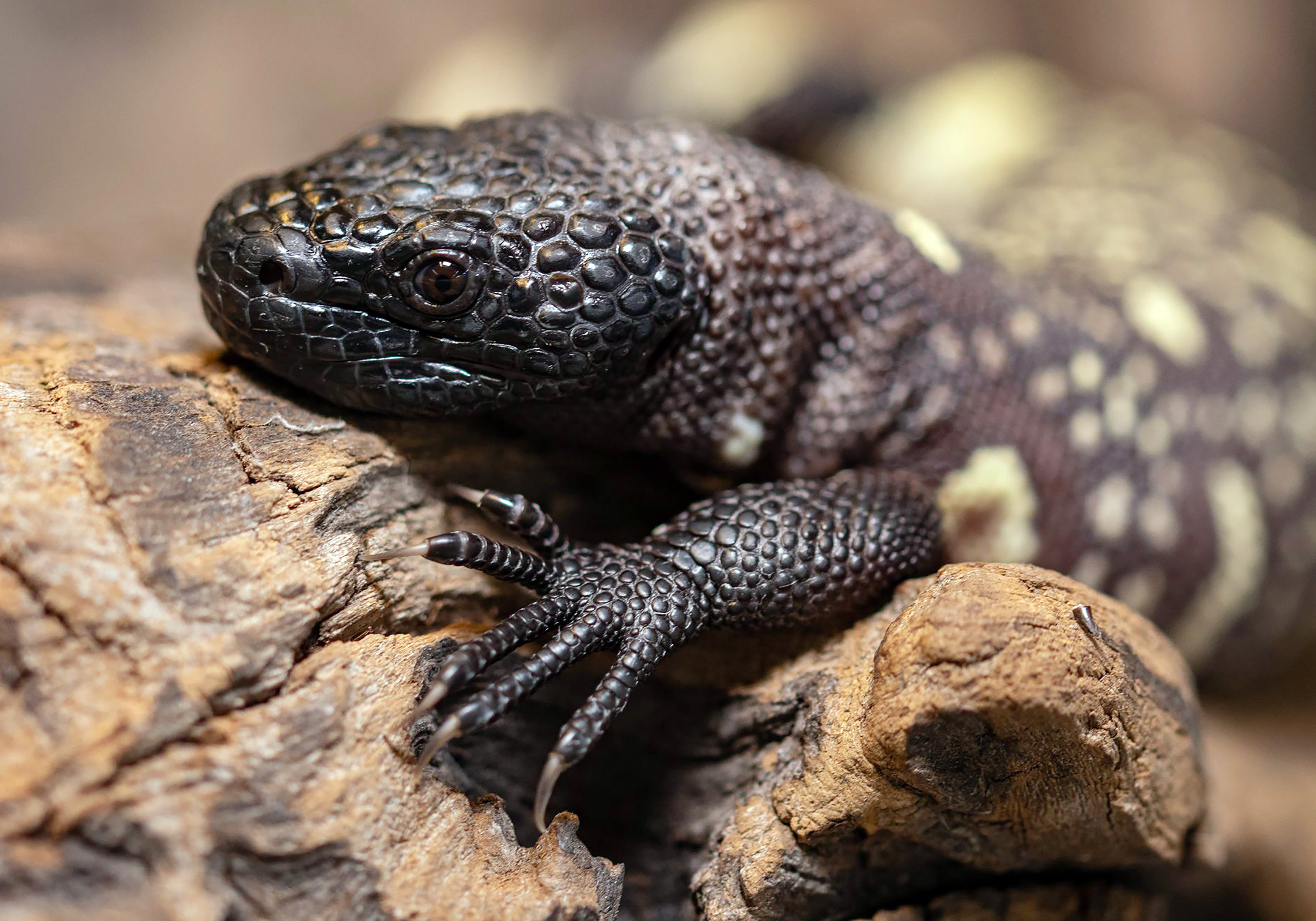 One of the two endangered venomous Mexican beaded lizards that hatched in February at an incubator is seen in Wroclaw Zoo, Poland