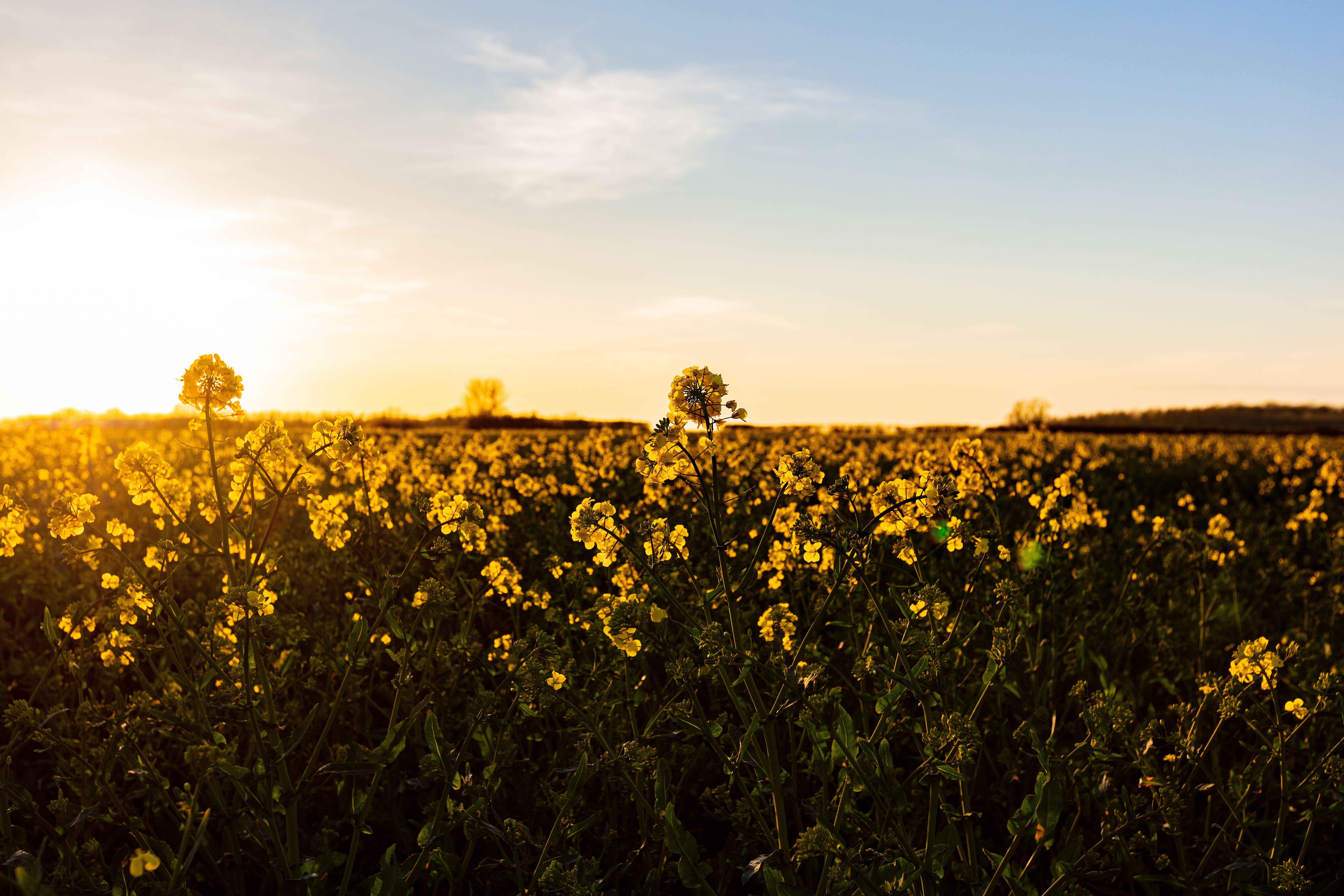 Early morninga walk through a rape seed oil field full of life and colour.